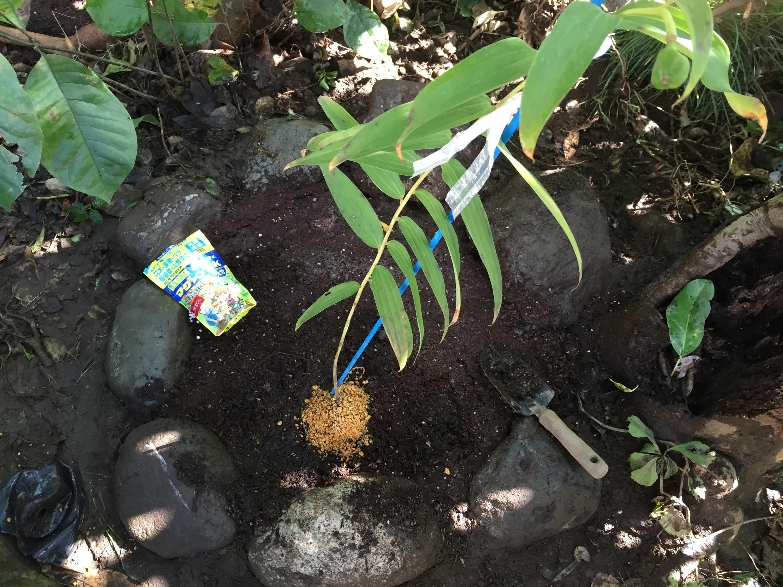 ヤマユリ庭植え