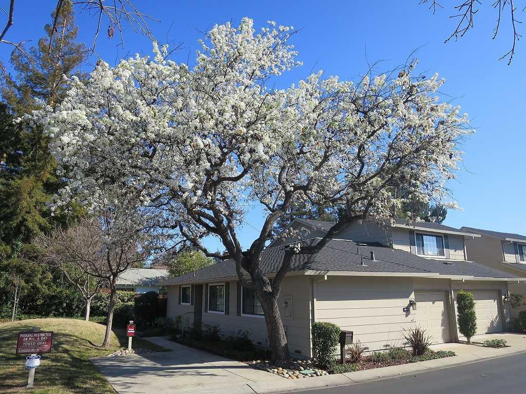 サラトガの桜?
