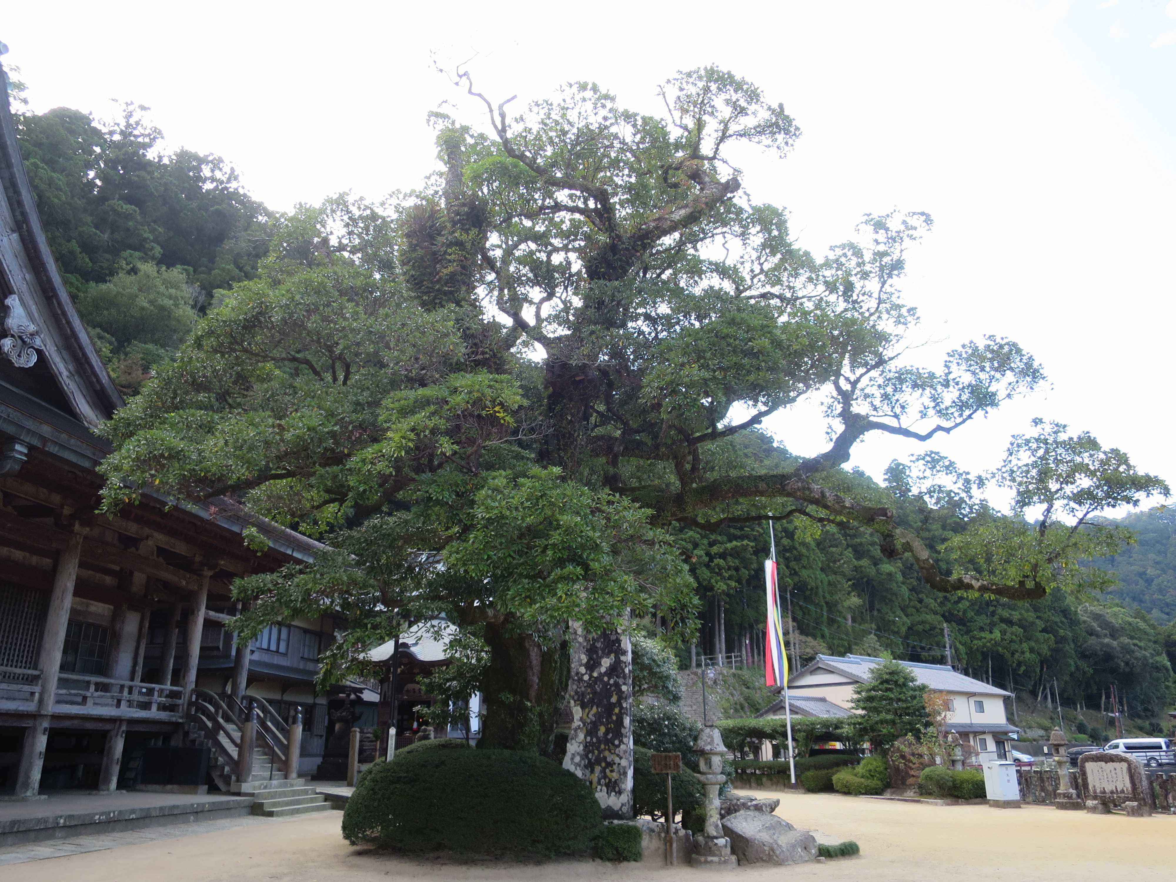 和歌山県指定天然記念物 タブノキ(通称:イヌグス/犬樟)