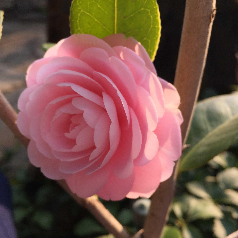 千重咲きの「淡乙女」