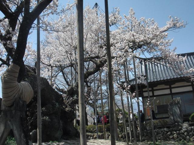 力強く咲く山高神代桜