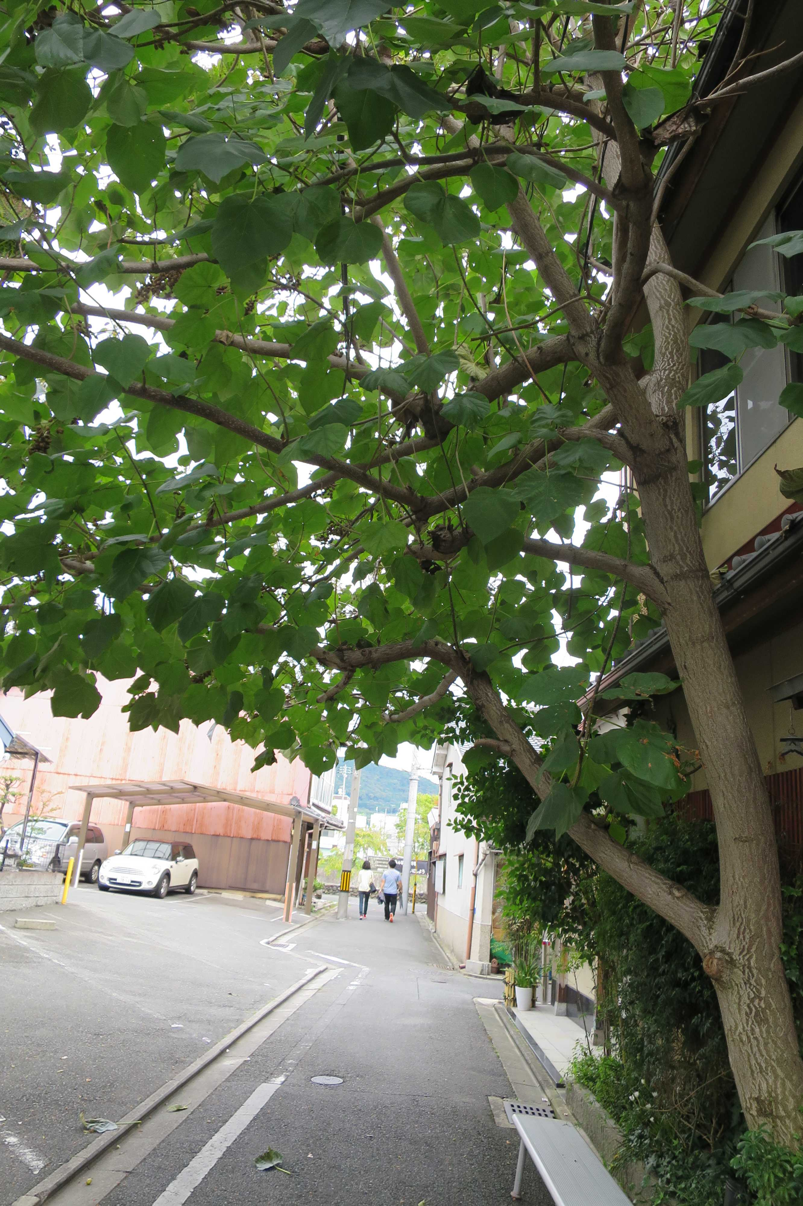 京都・五条楽園 - 桐の木