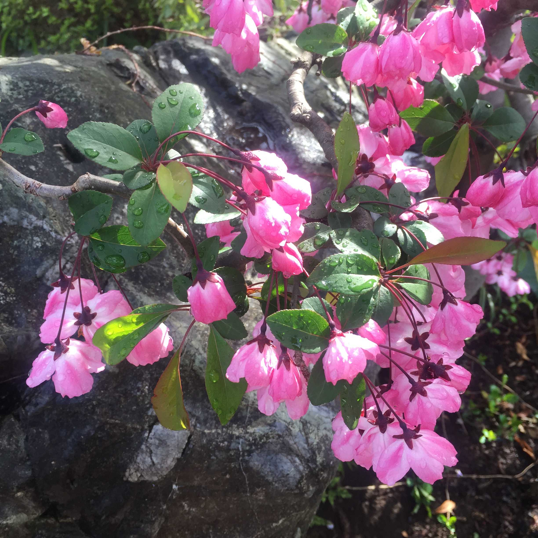 美しいハナカイドウ(花海棠)