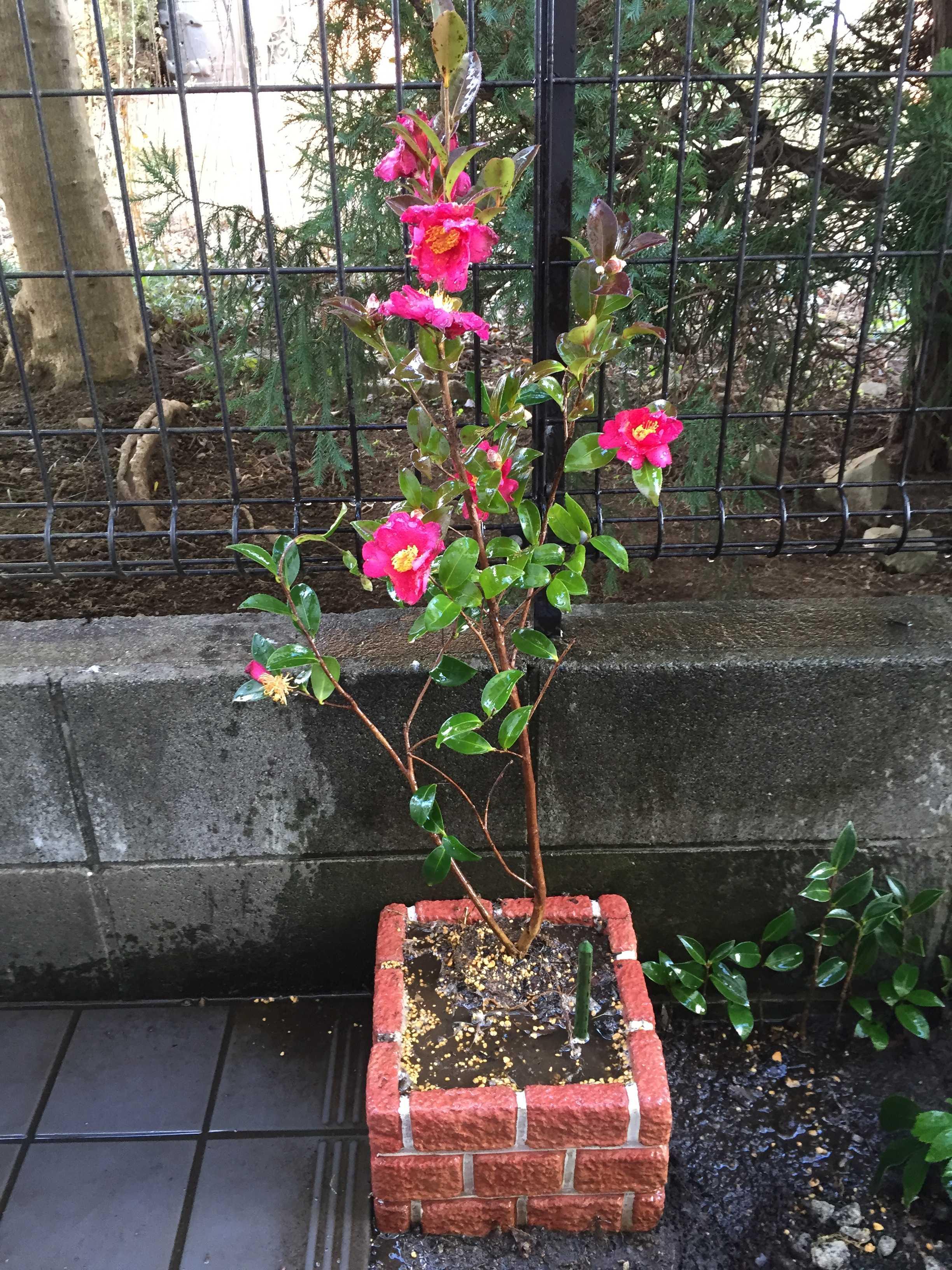 サザンカ(山茶花)をブロックプランターに植え付け