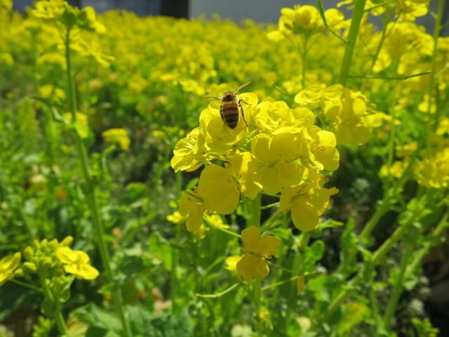 蜜蜂のお尻