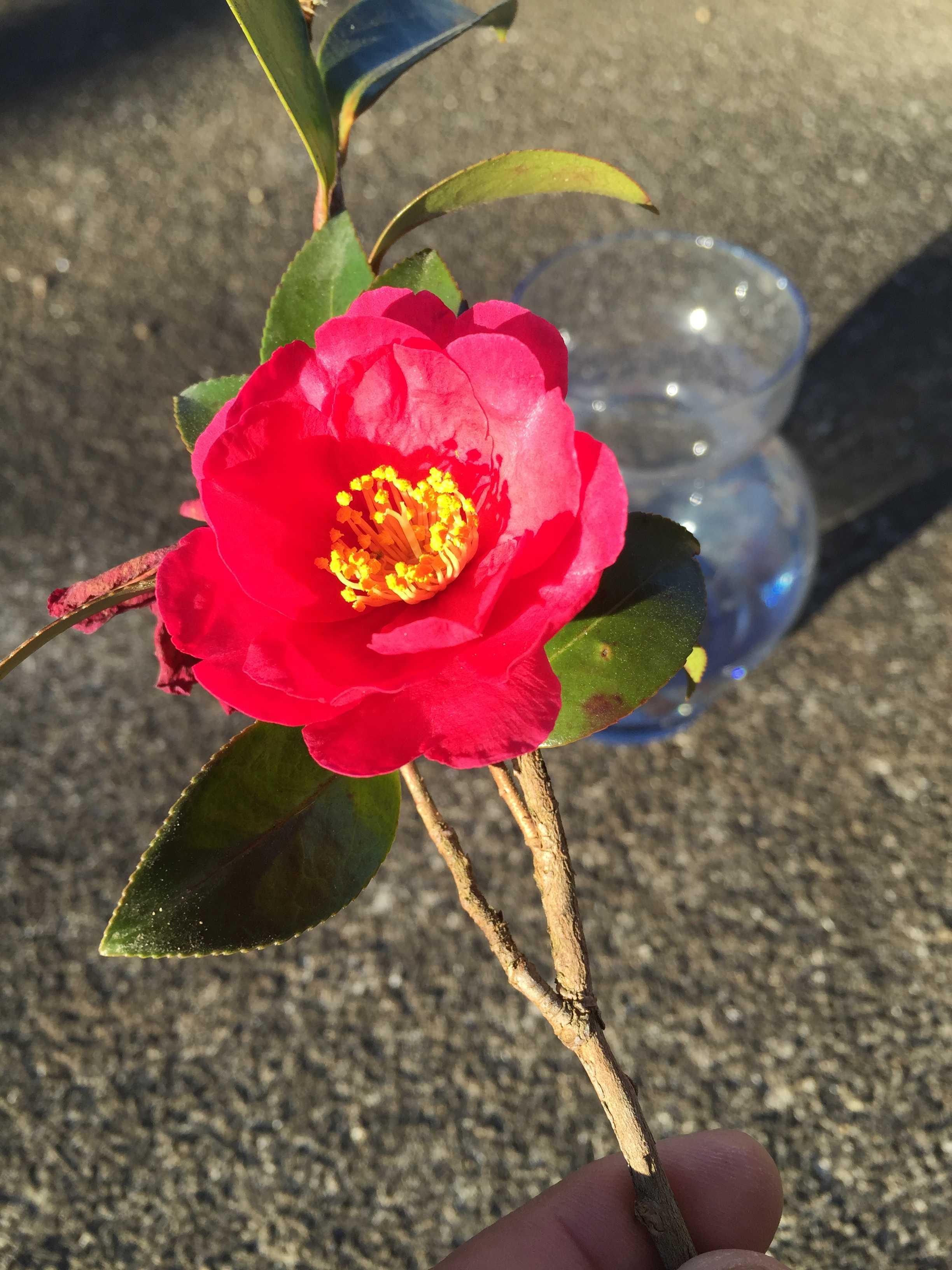 タチカンツバキ(立寒椿)の勘次郎