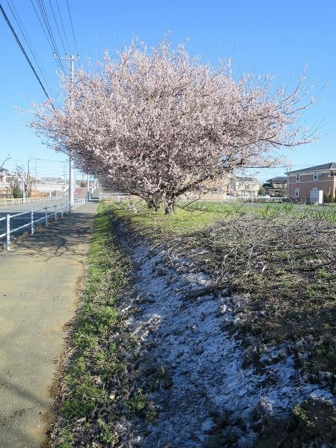 路傍の梅の木