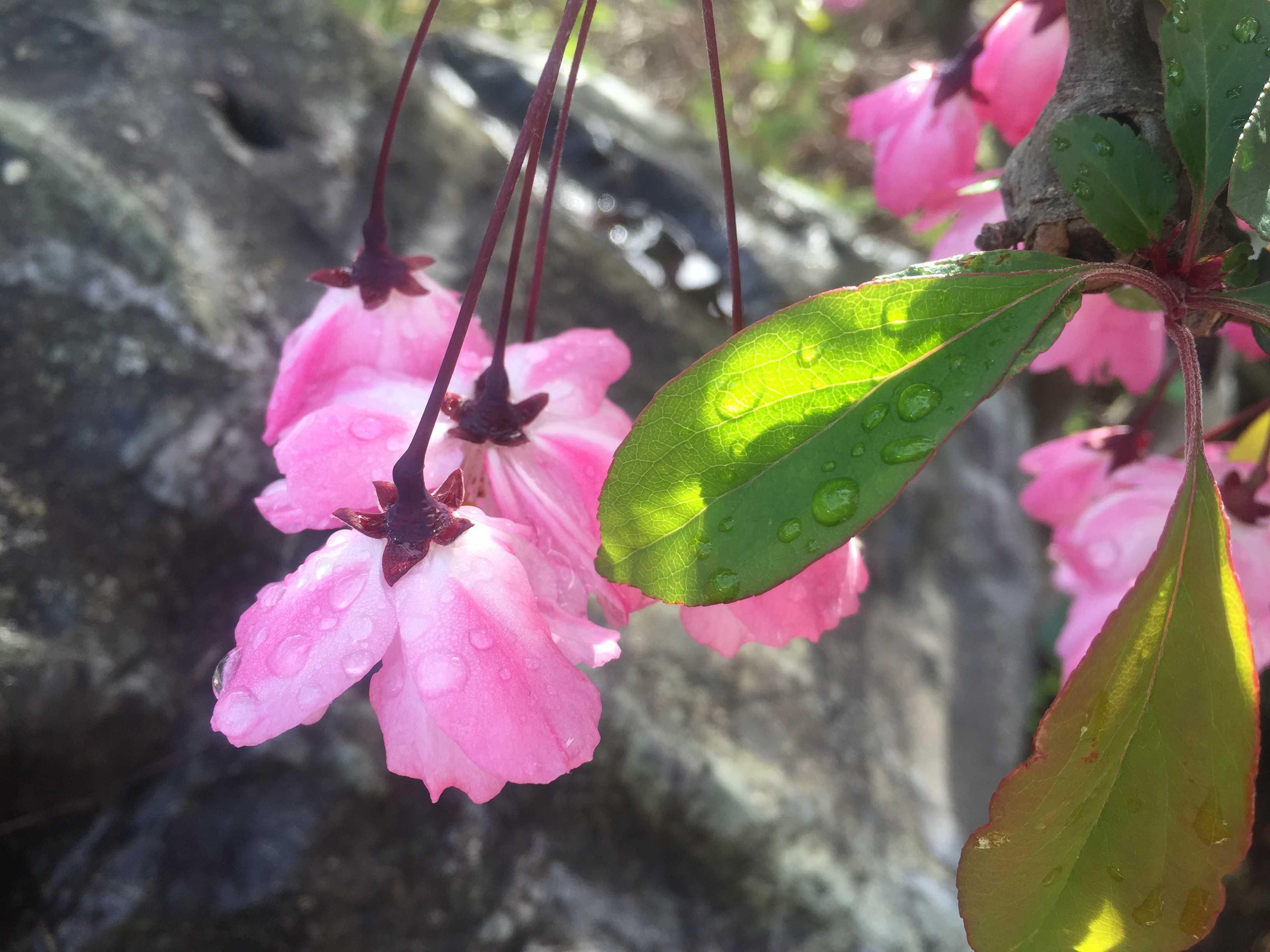 ハナカイドウの淡いピンク色(淡紅色)の花と緑に輝く葉っぱ