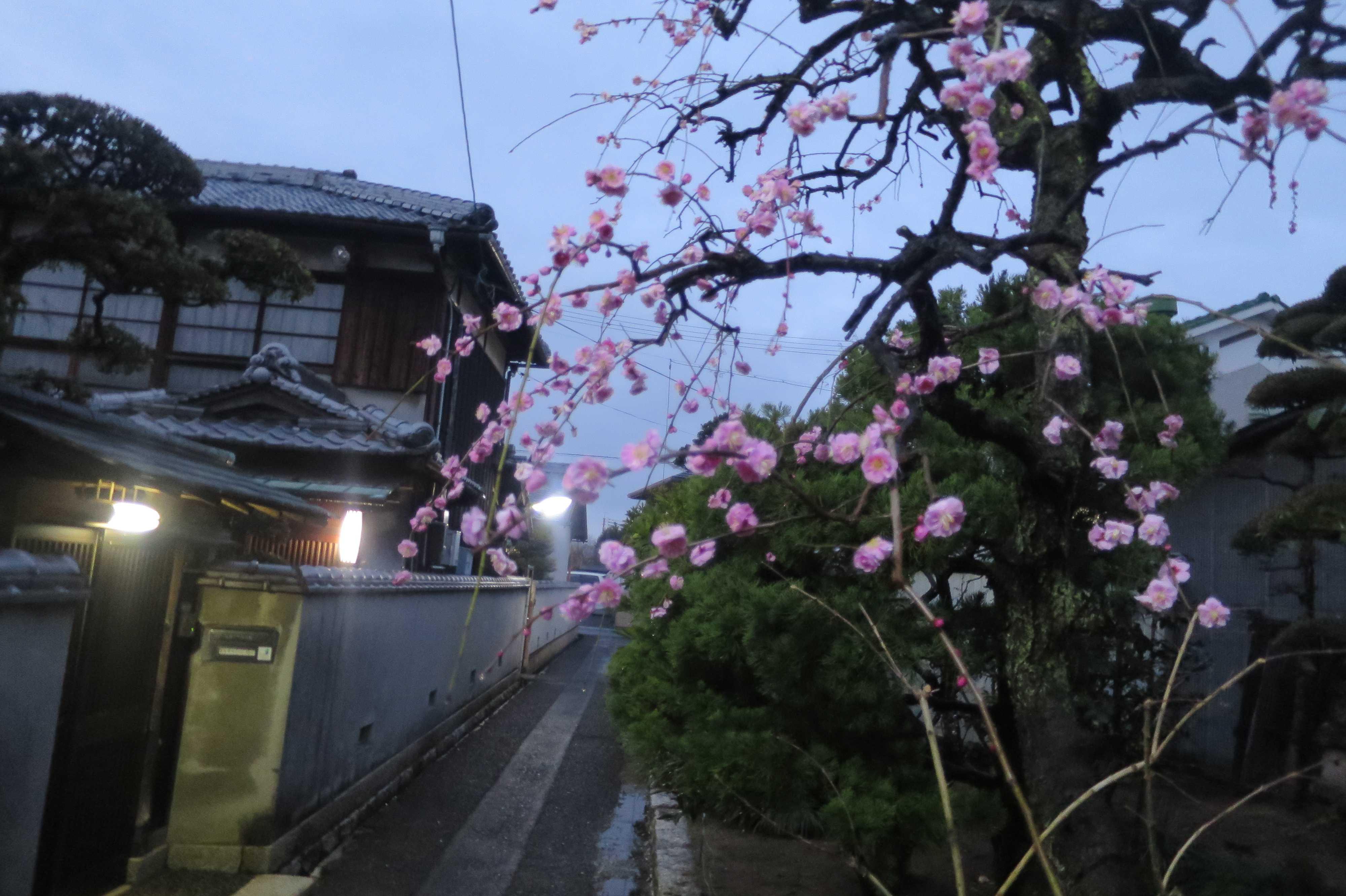 西大寺 - 紅梅