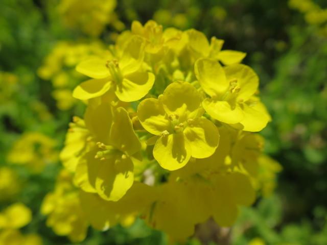 黄色い菜の花