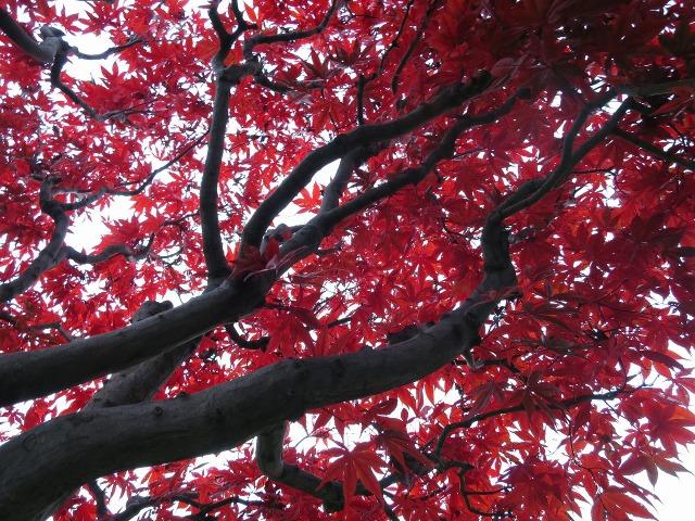 真っ赤なモミジの枝