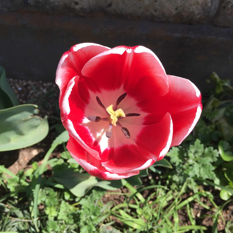 白い覆輪入りの赤のチューリップ