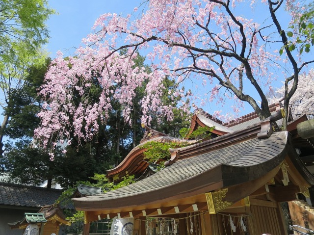 八王子・子安神社のさくら