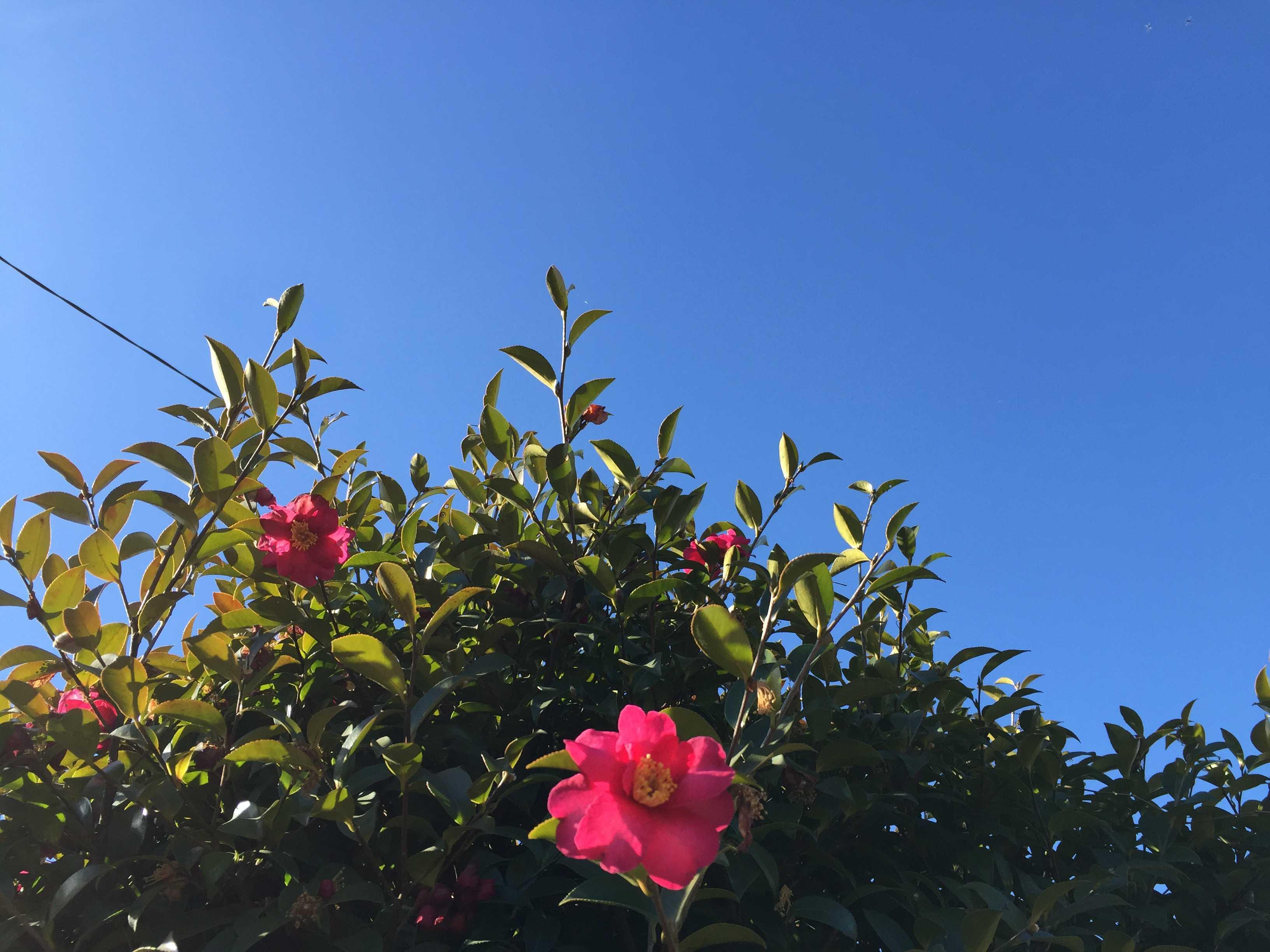サザンカと青い空