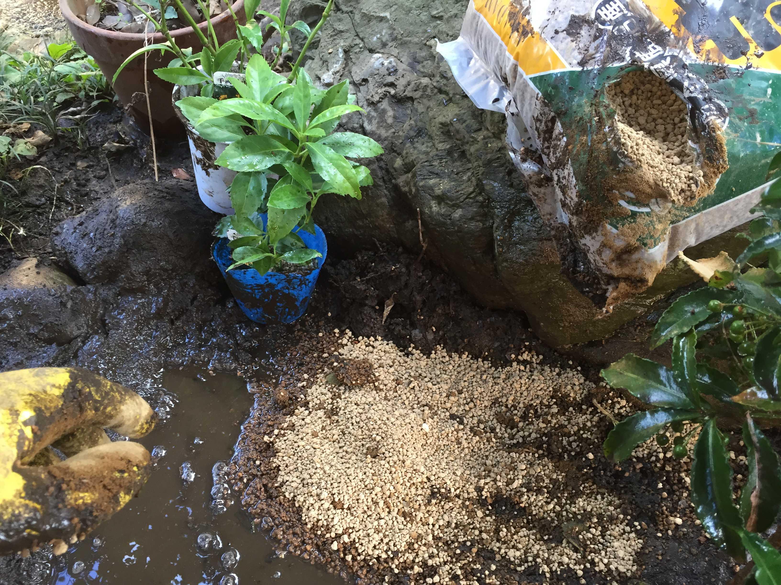 黄実の千両(キミノセンリョウ) の植え付け - 赤玉土(小粒)