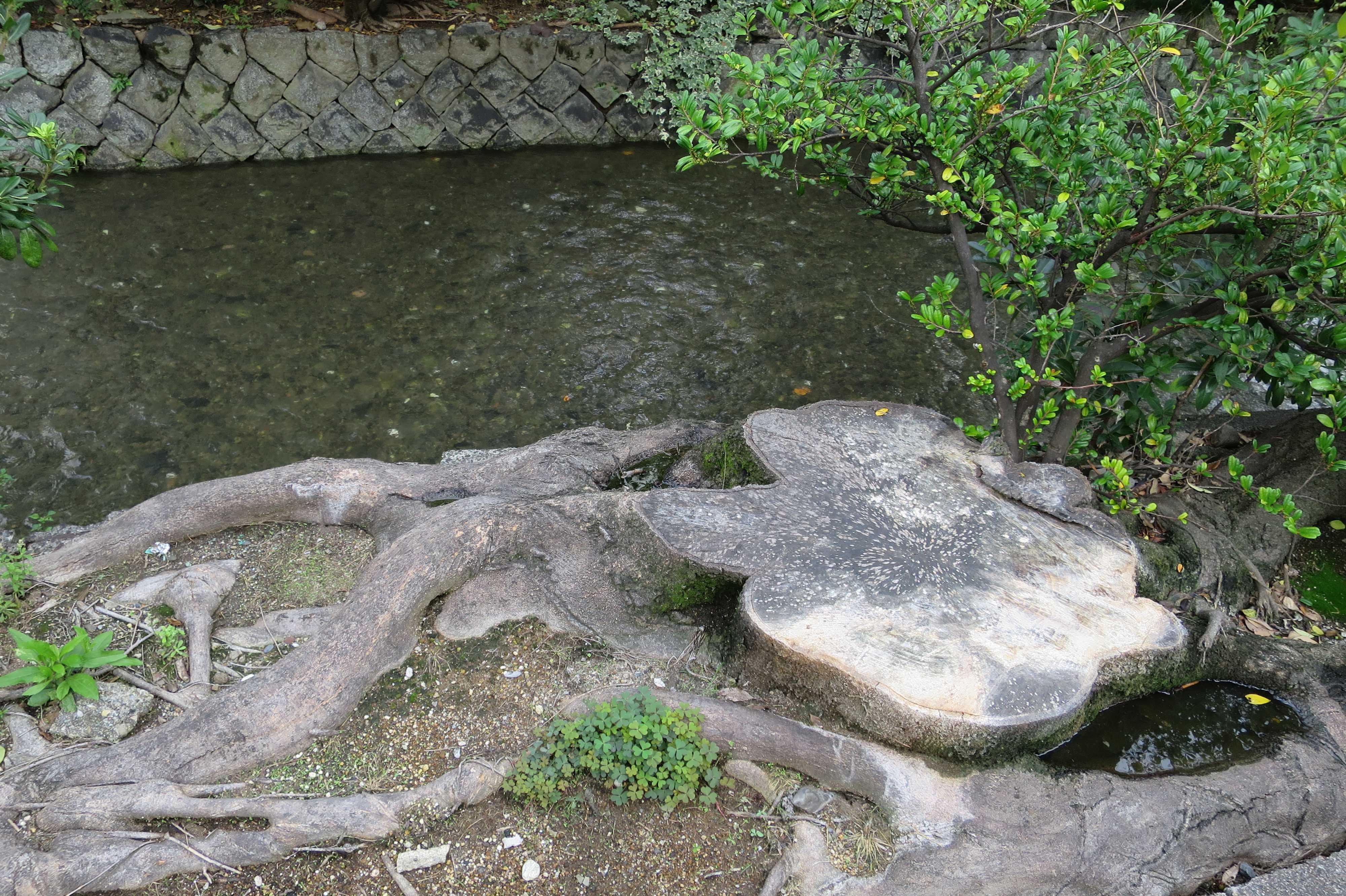 京都・五条楽園 - 高瀬川沿いの木の切り株