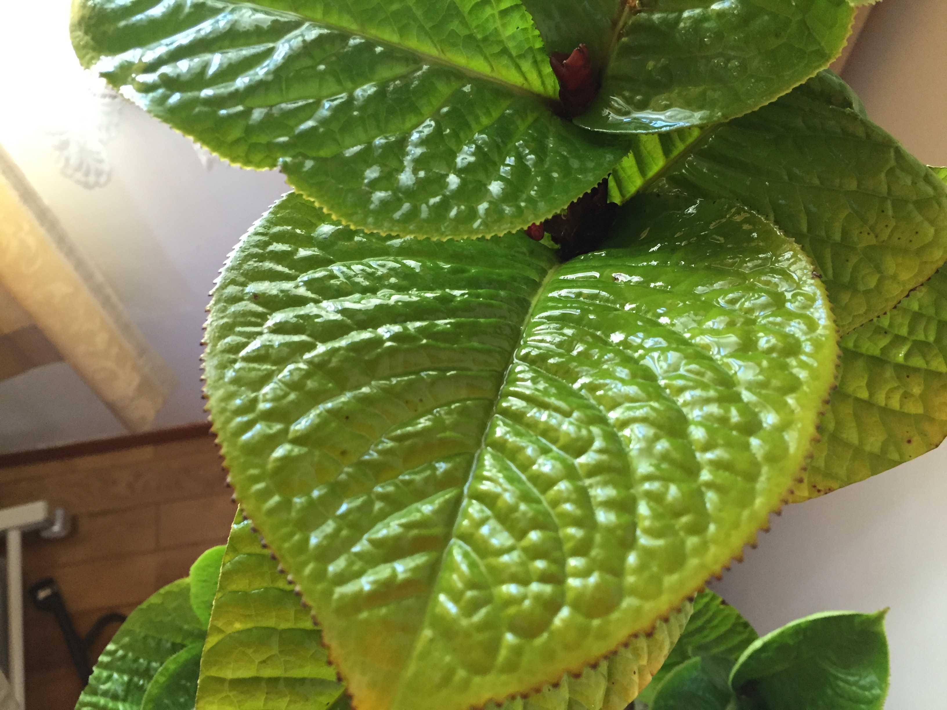 原種椿「ムラウチイ」の美しい緑色の葉