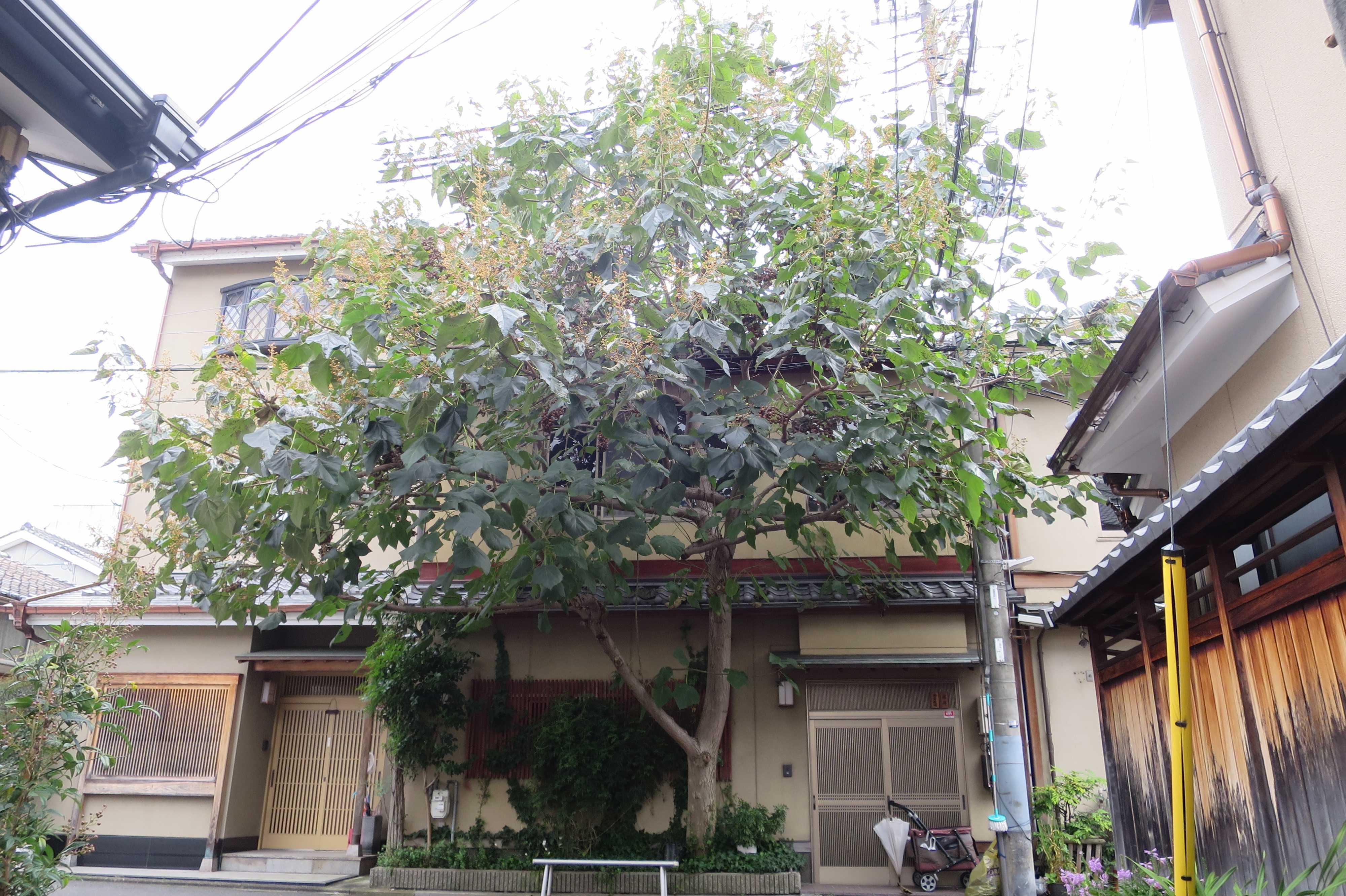 京都・五条楽園 - 桐(キリ)の木