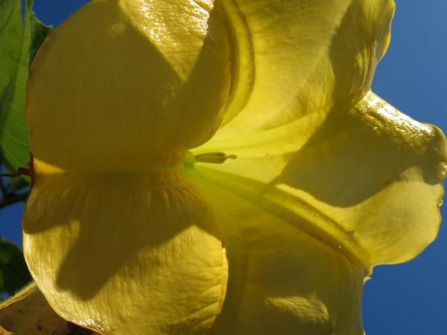 真っ黄色のエンジェルストランペット