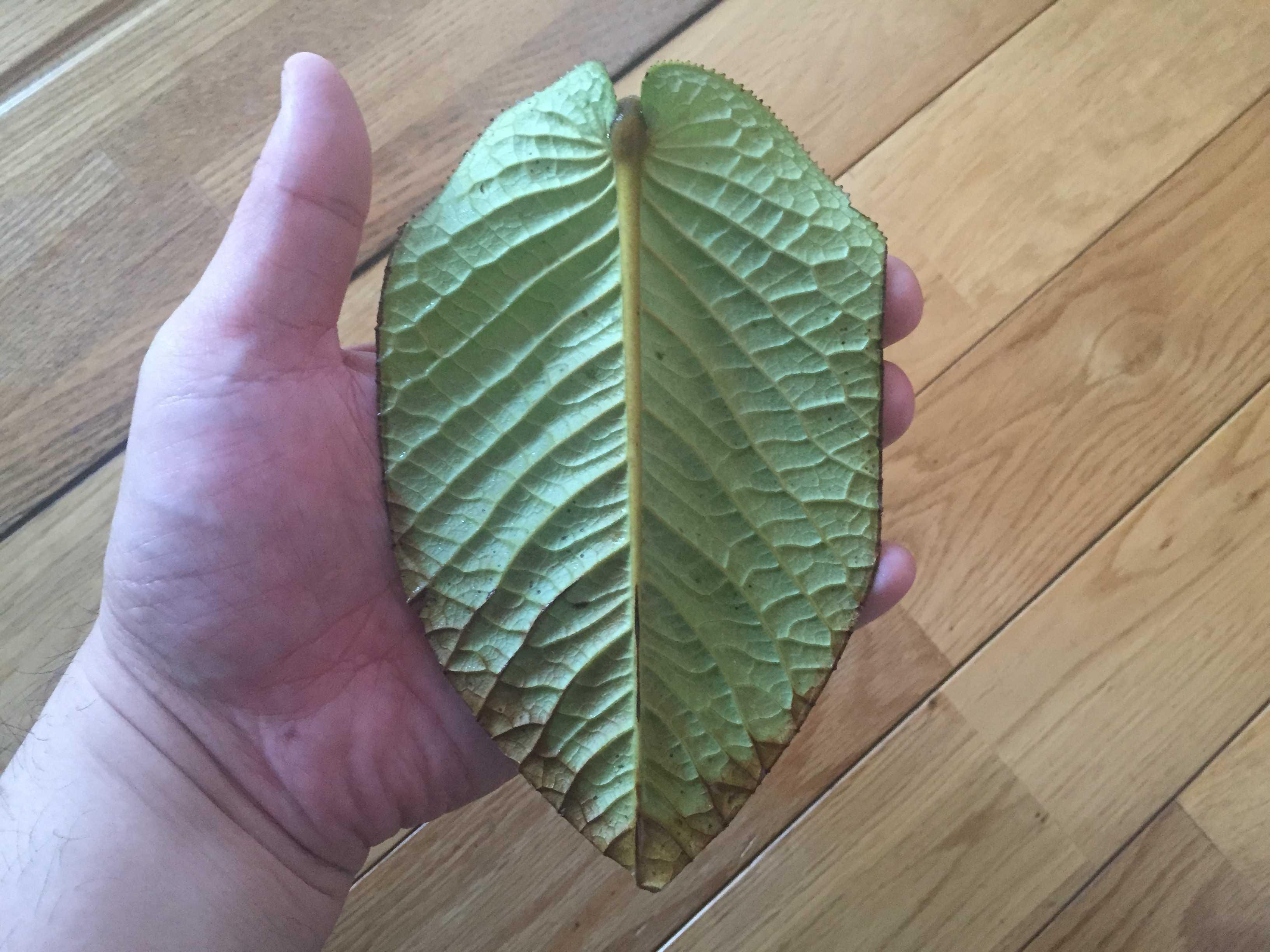 原種椿「ムラウチイ」の葉身 - 葉の裏面