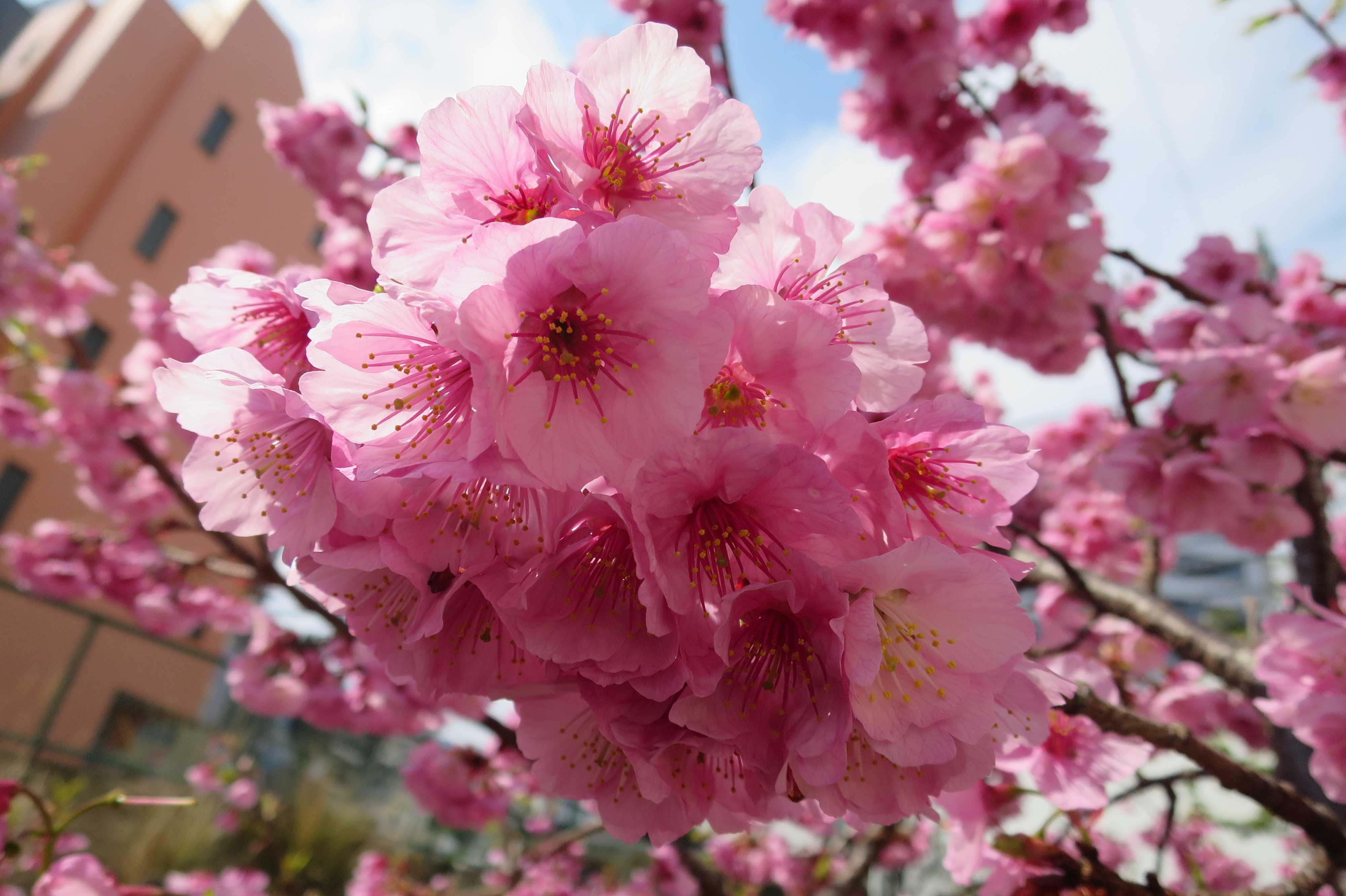 アタミザクラ(あたみ桜)満開
