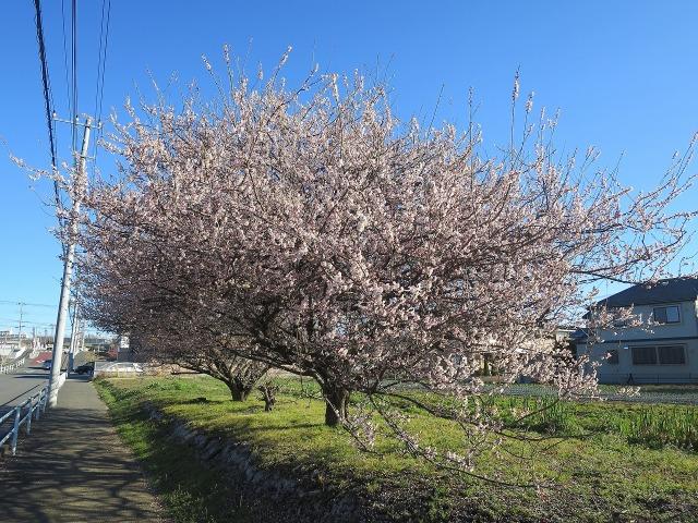 道路脇の梅の木