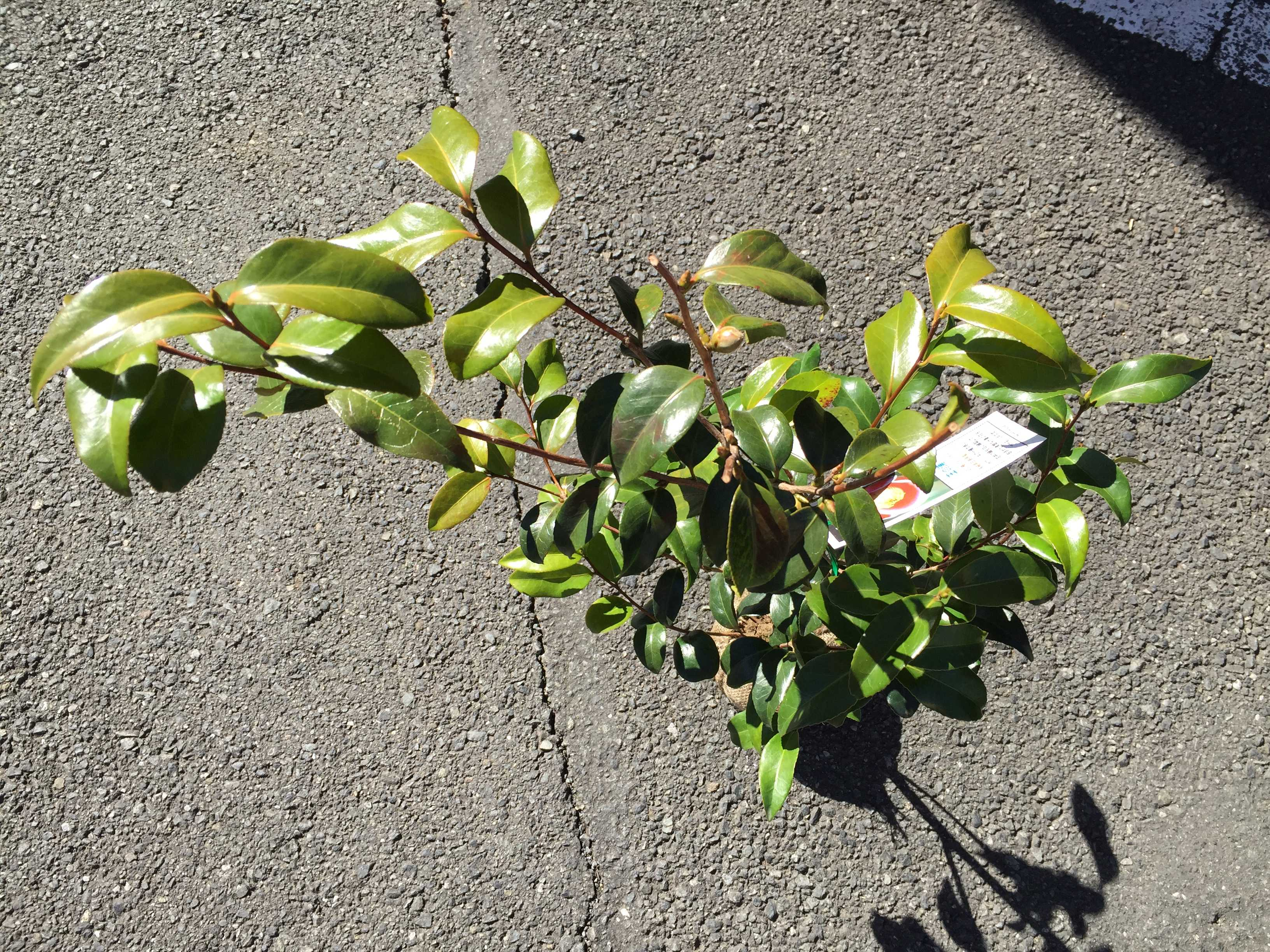 ヤブツバキ「玉之浦」の葉