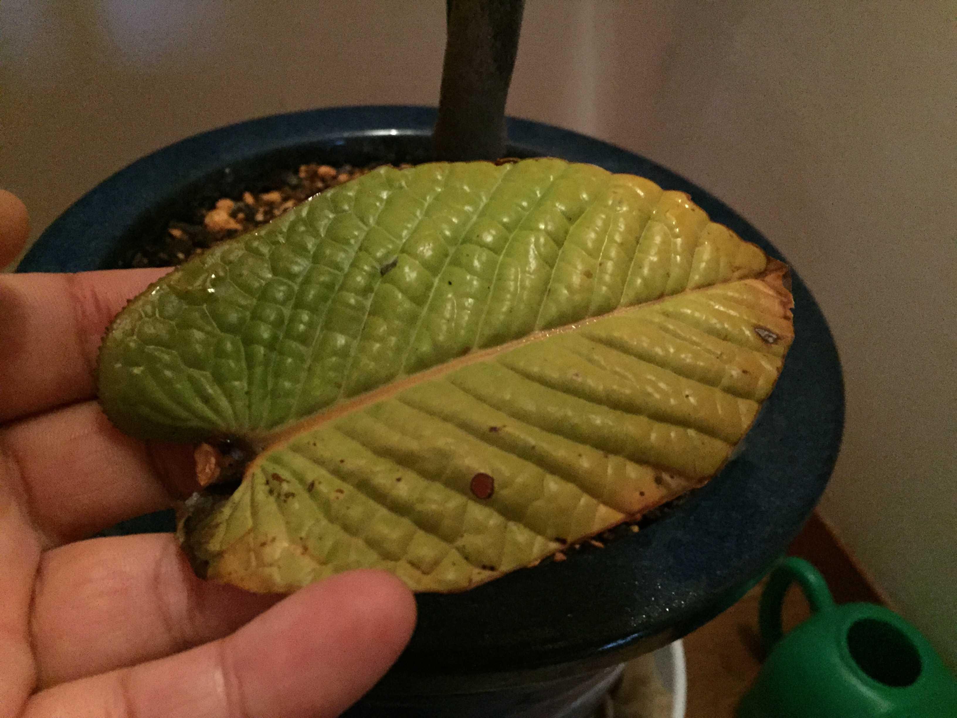 原種椿「ムラウチイ」の落ちた黄色い葉っぱ