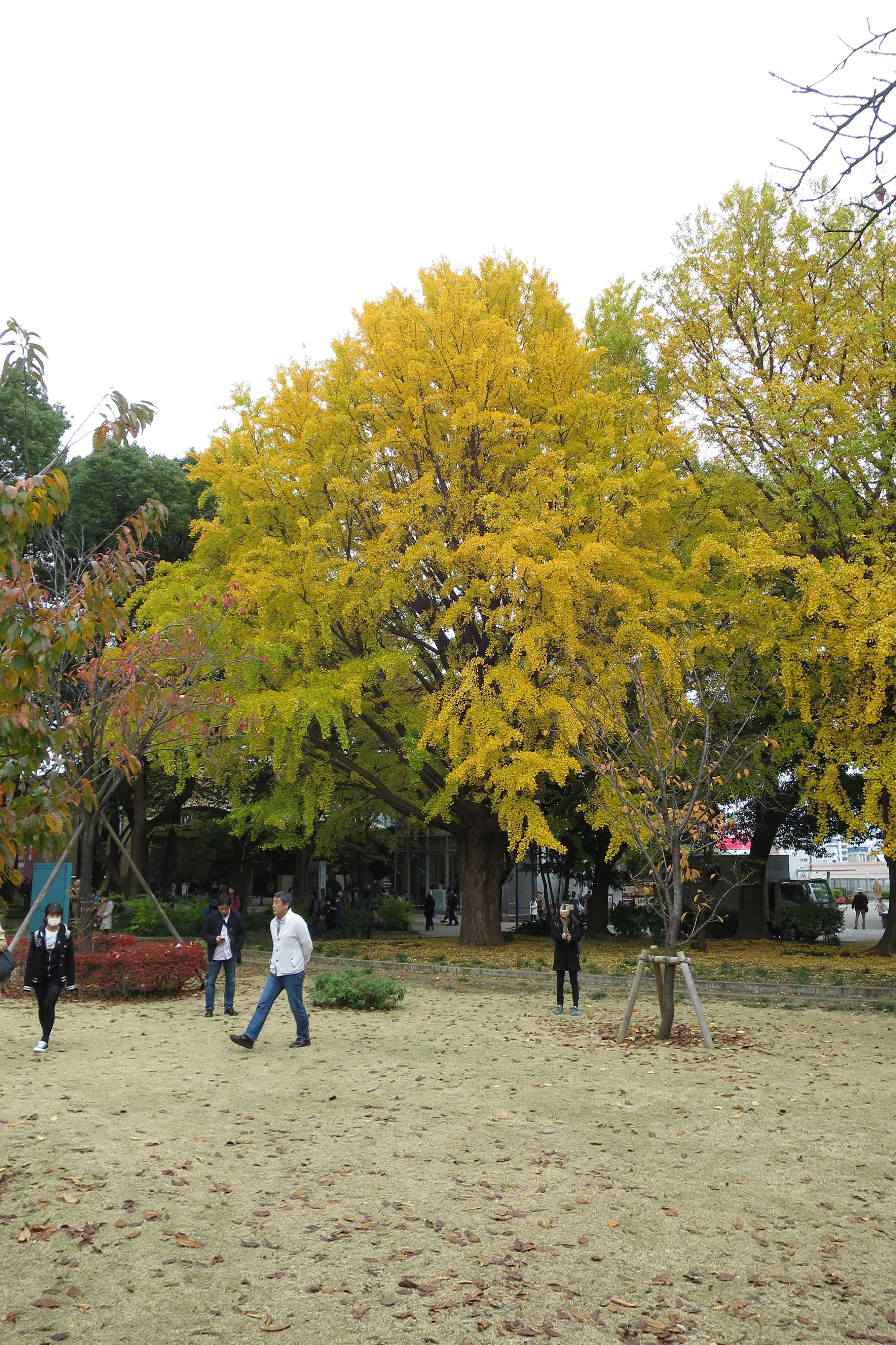真っ黄色のイチョウ - 上野公園
