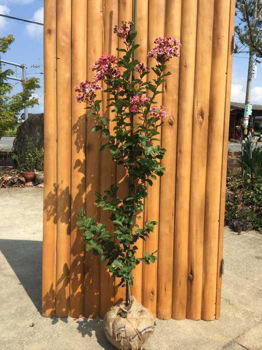 サルスベリ夏祭り 樹高1.2メートル前後