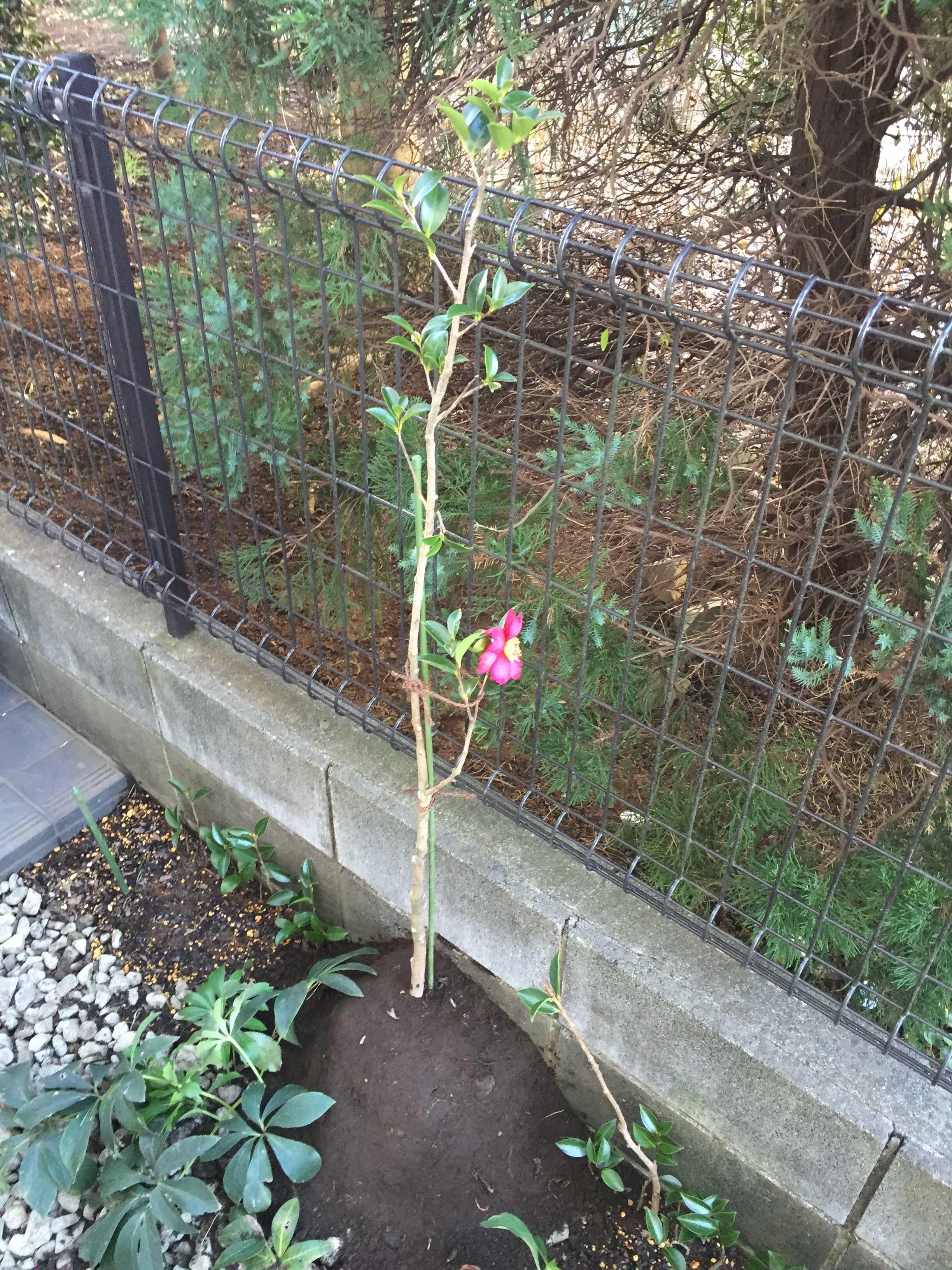 山茶花(勘次郎)の植え付け