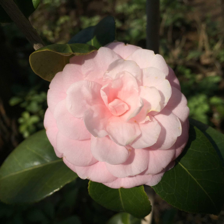 宝珠咲きの「淡乙女(ウスオトメ)」