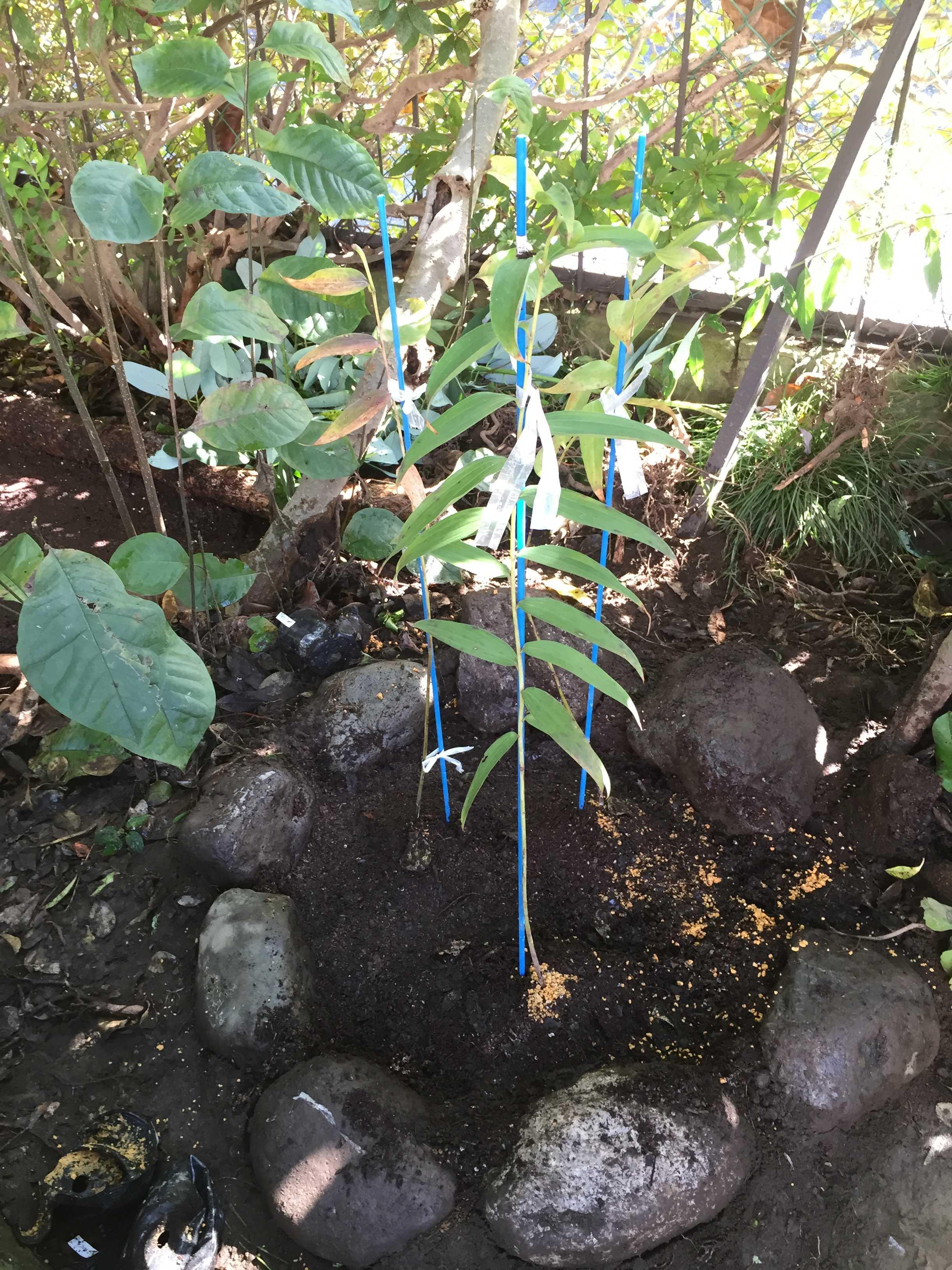 ヤマユリ - 植え付け完了