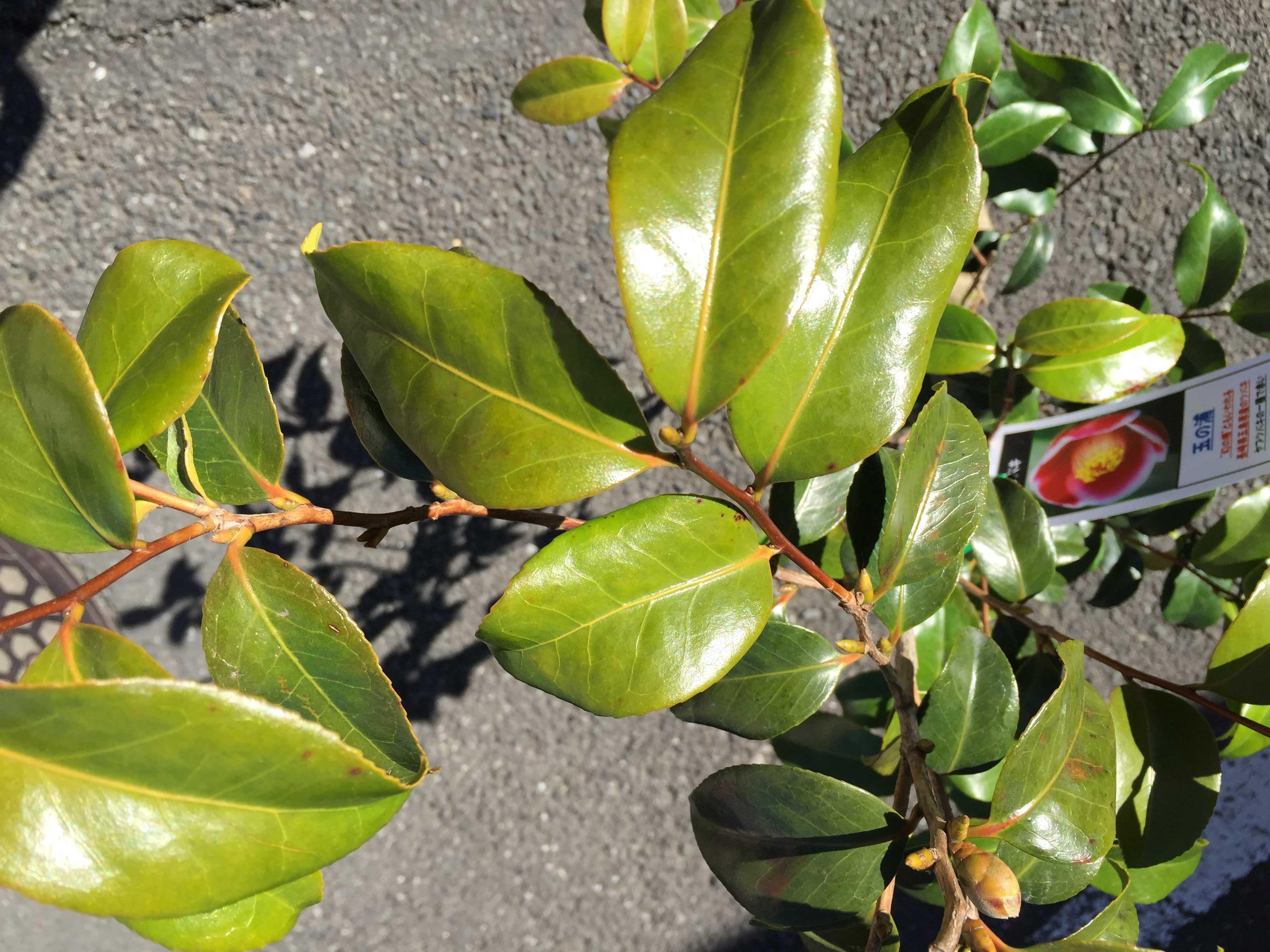 ヤブツバキ「玉之浦」の葉っぱ