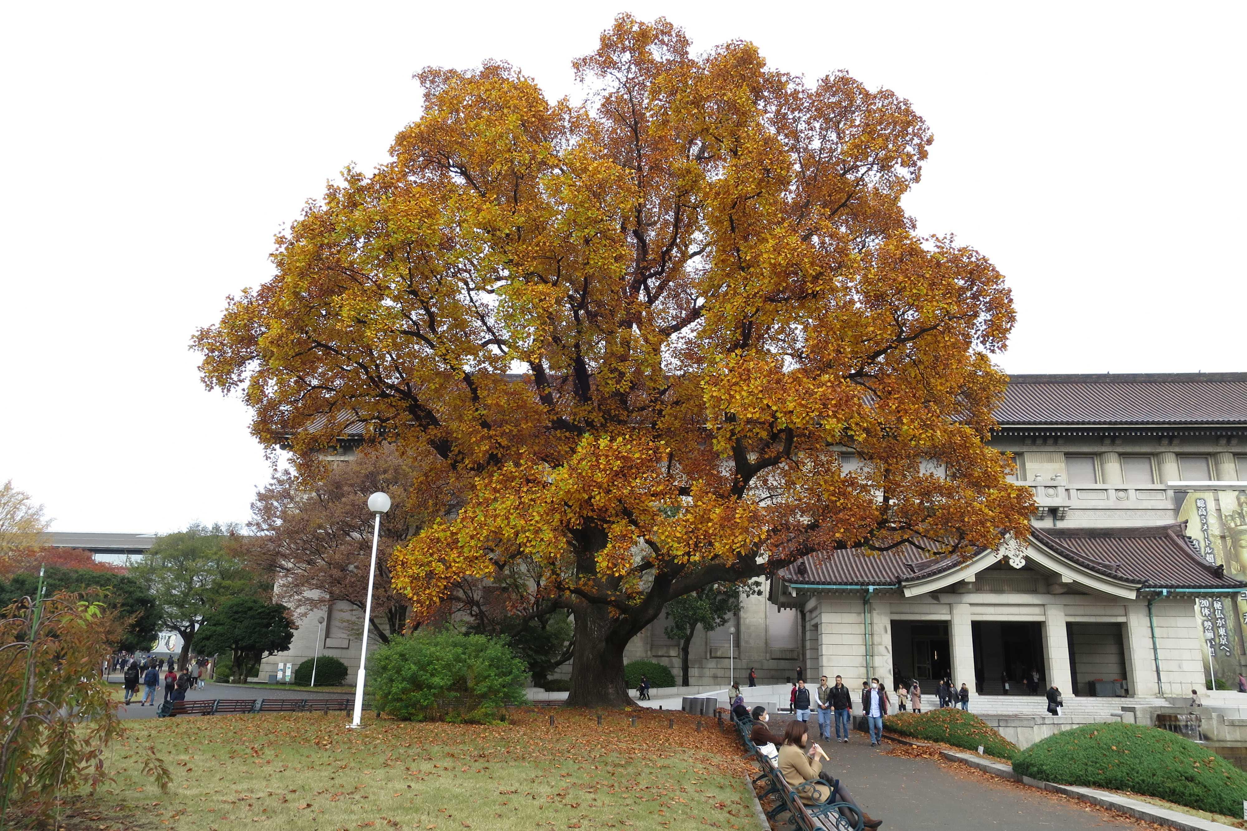 東京国立博物館 本館前の巨木「ユリノキ(百合の樹)」