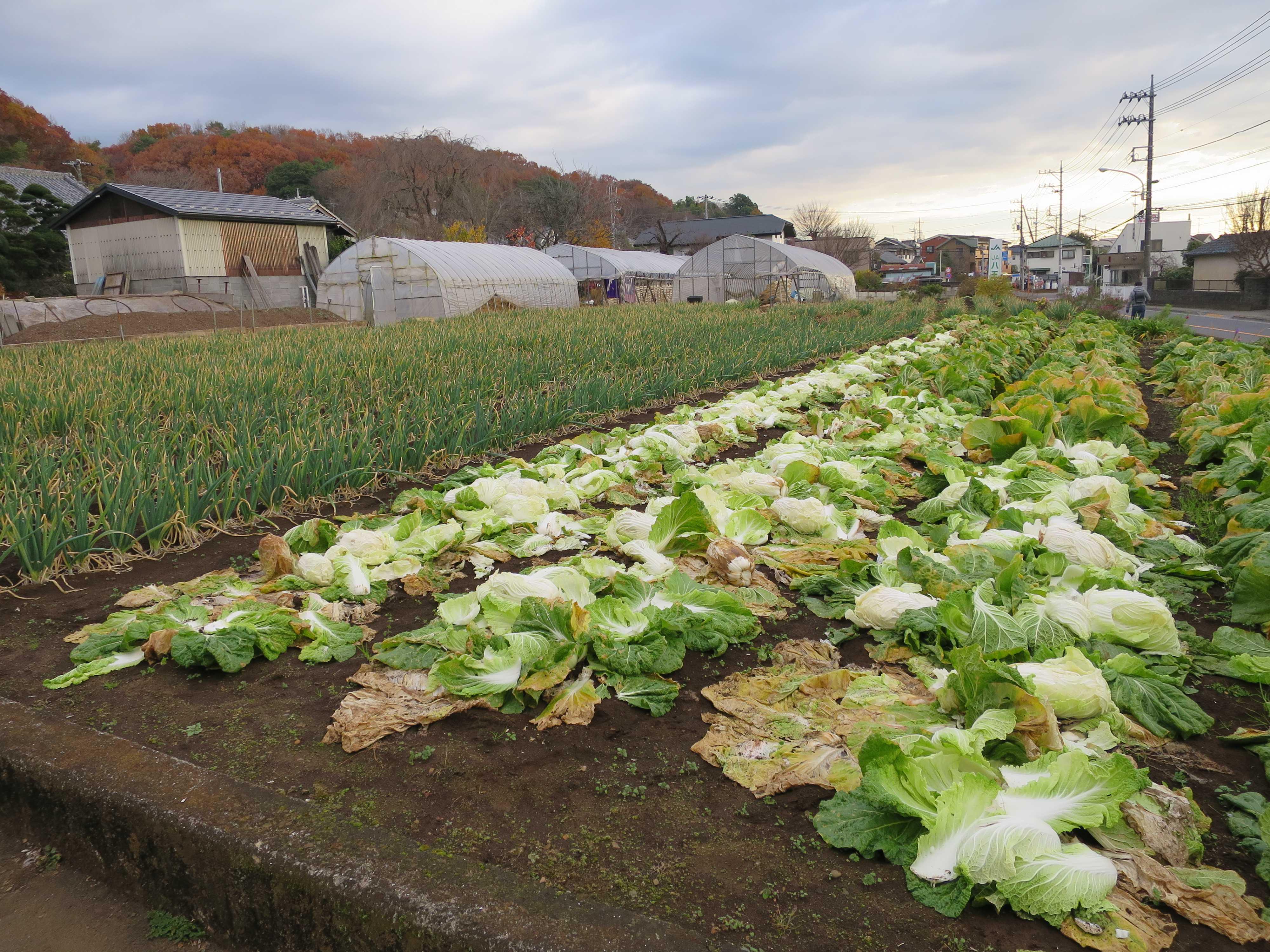 白菜畑 - 八王子市石川町