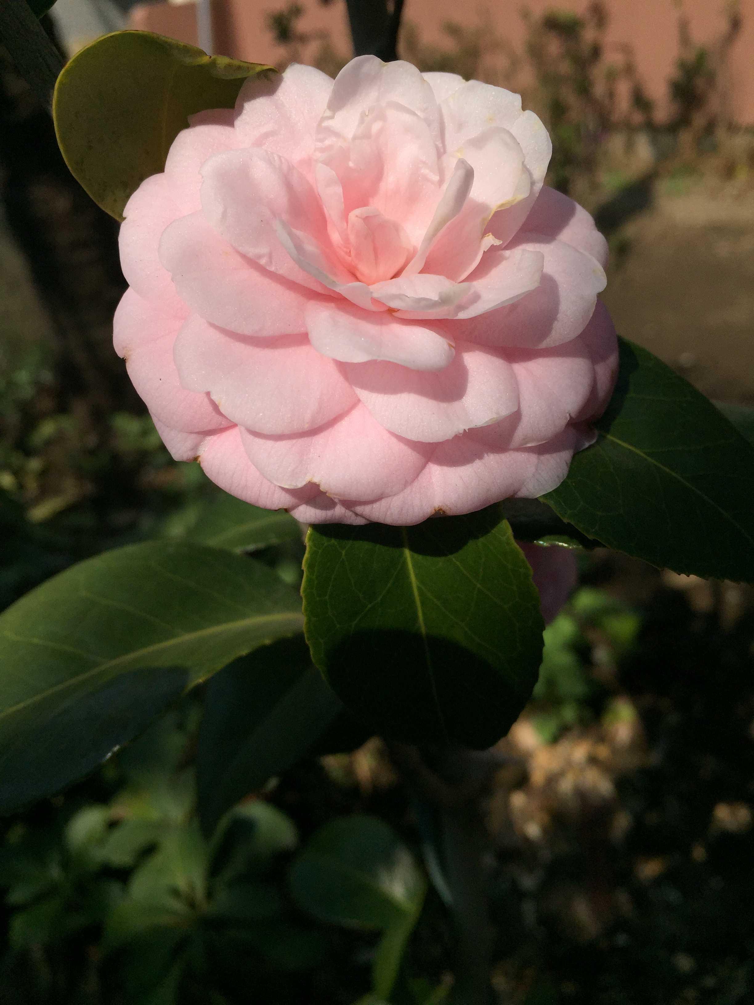 宝珠咲きの「淡乙女」