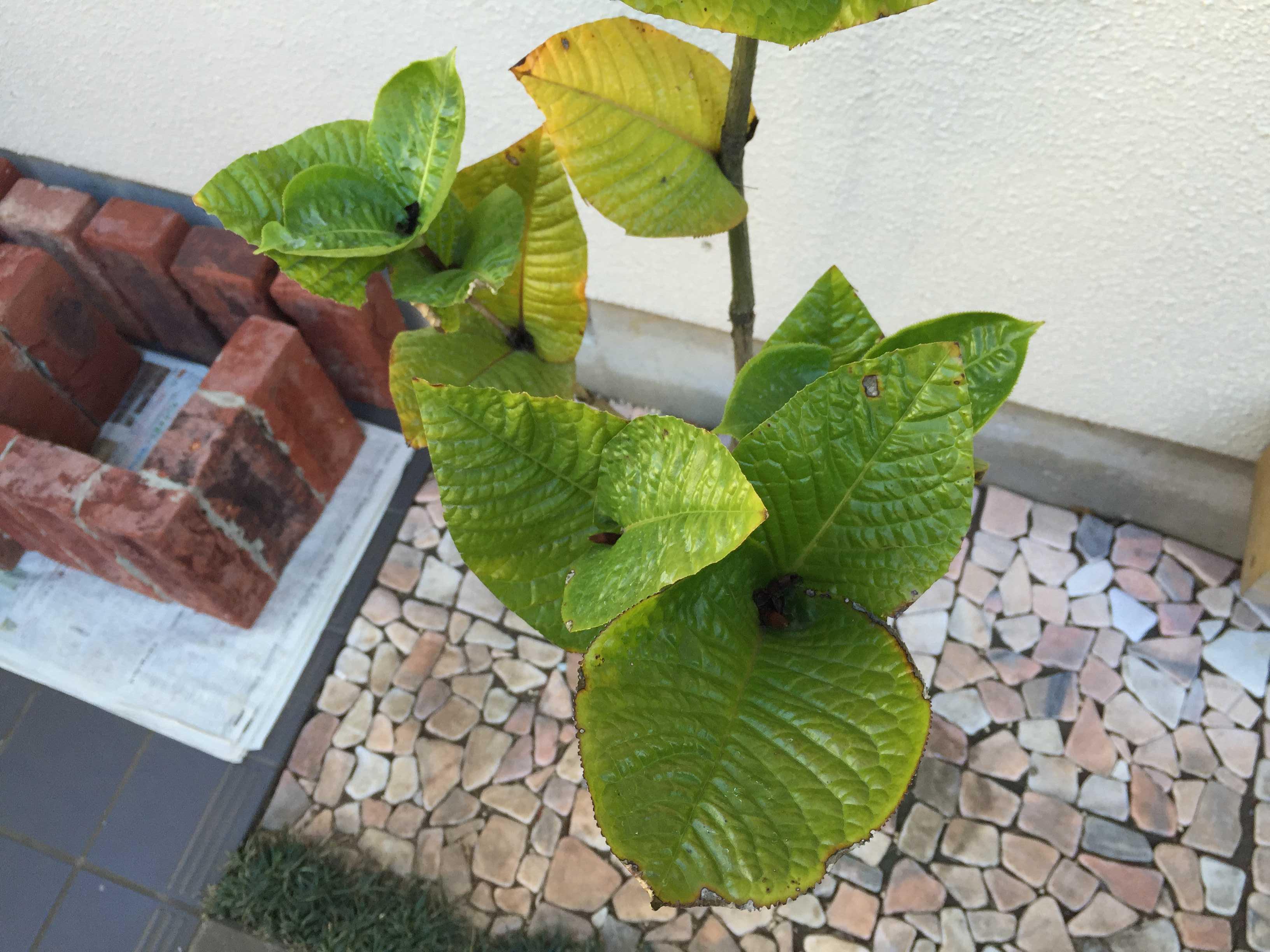 ベトナムの黄花椿「ムラウチィ」