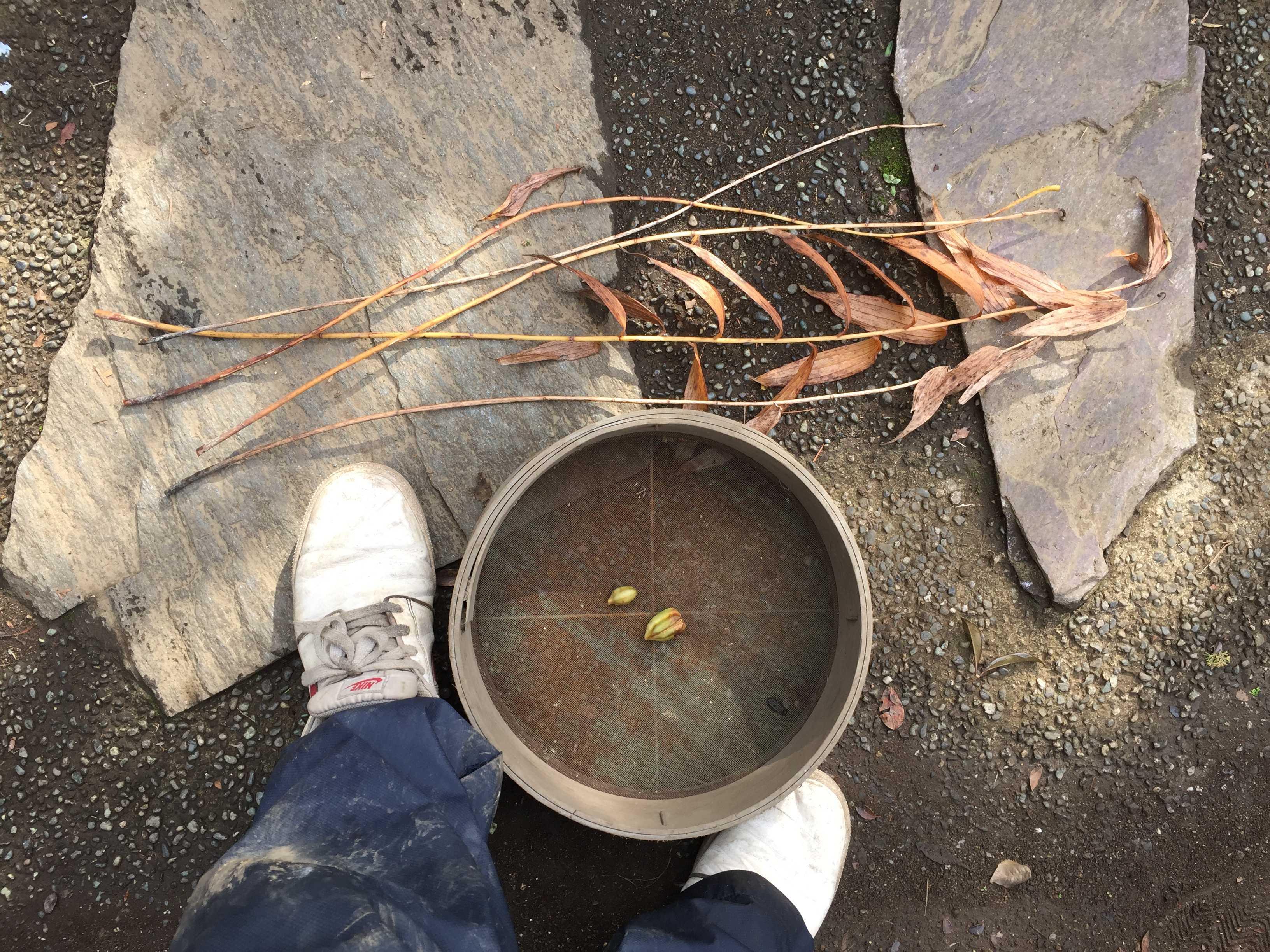 ヤマユリの枯れた茎と葉