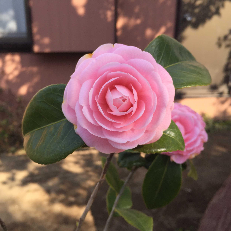開花した乙女椿(オトメツバキ)の花