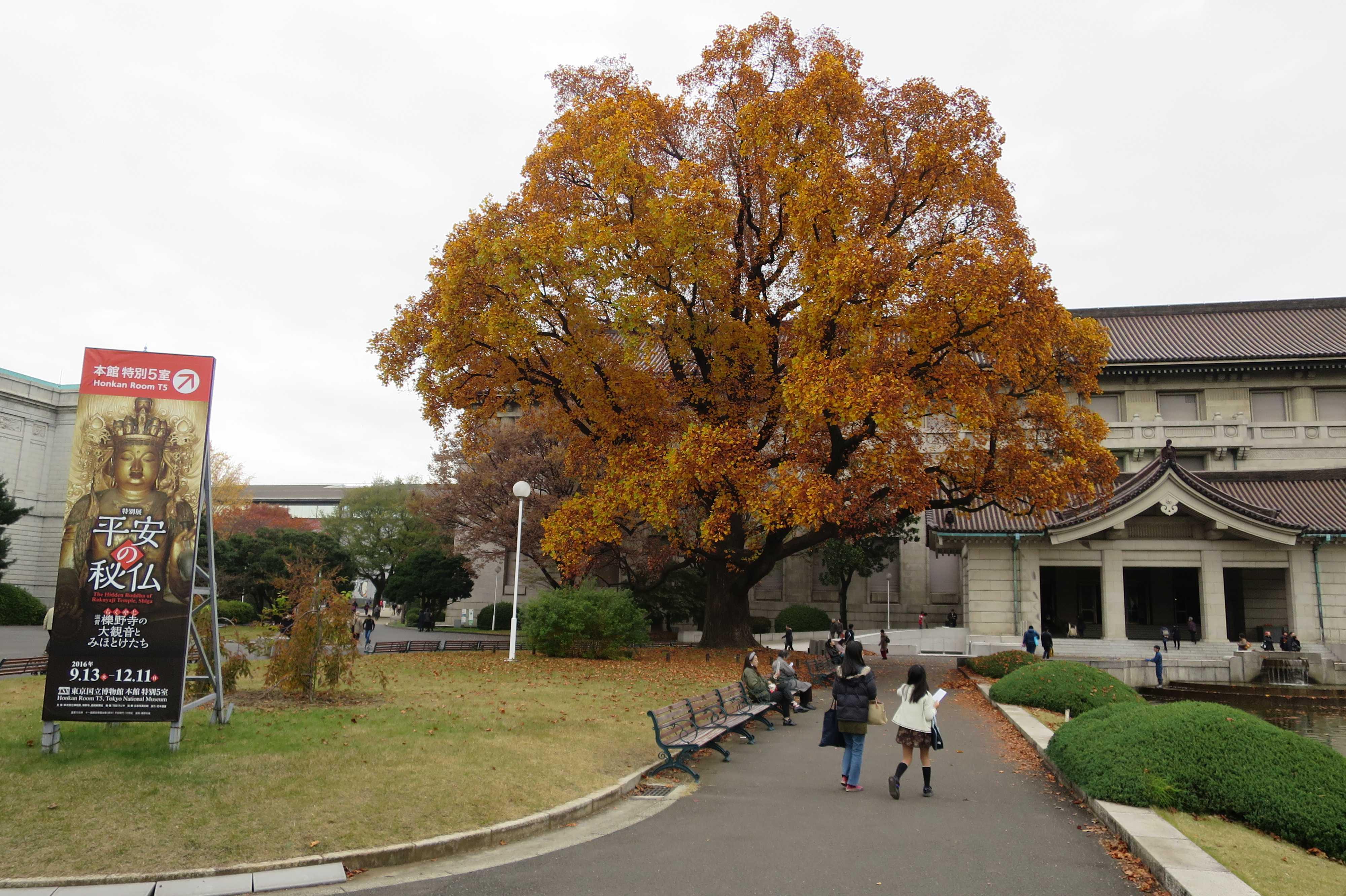 東京国立博物館のユリノキ(百合の木)
