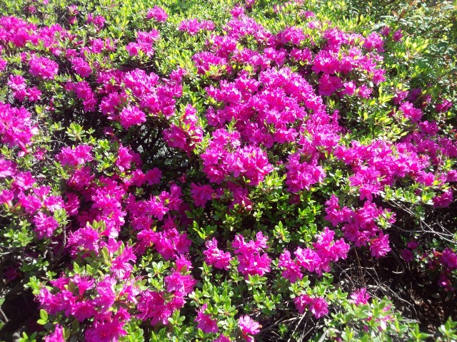 八重桜と新緑が混じり合う靖国神社