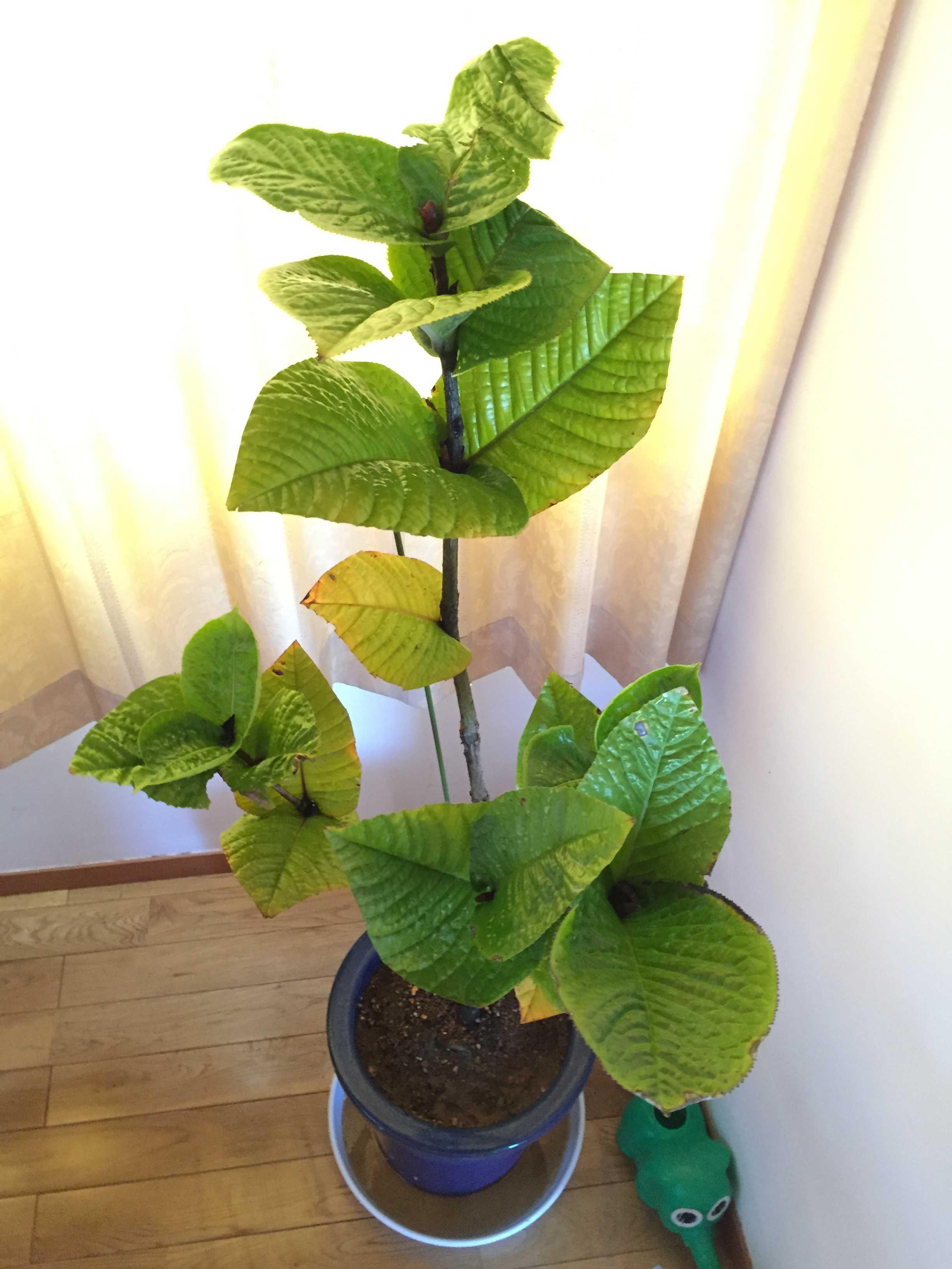 ベトナム原産の黄花椿「ムラウチィ」 学名: murauchii