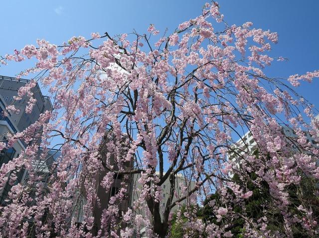 八王子・福傳寺 (福伝寺)のしだれ桜