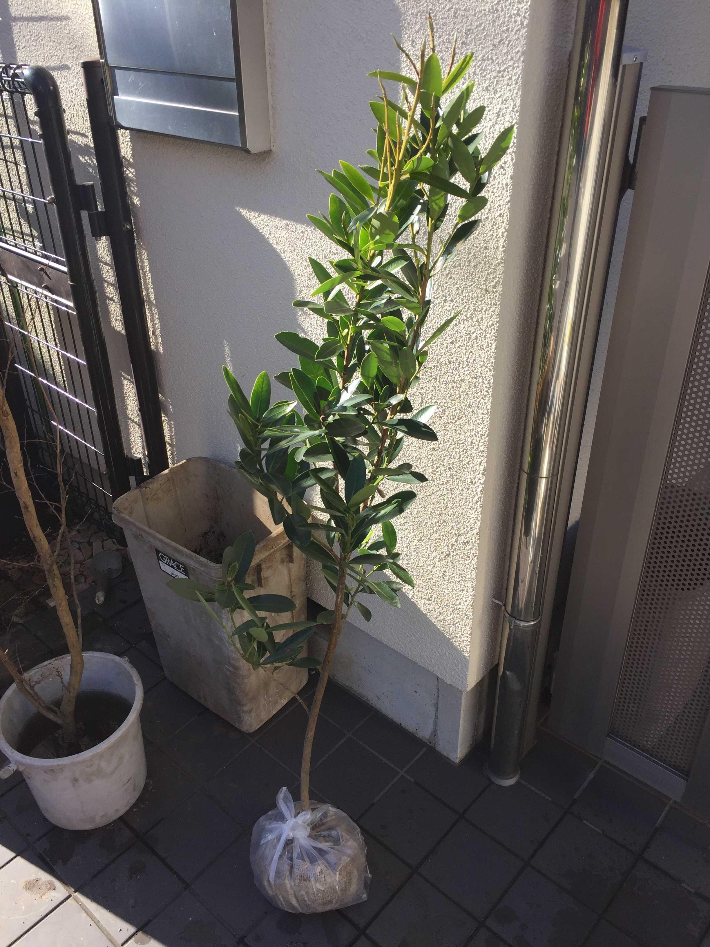 台湾椿「ゴードニア」の苗木 樹高1.4m
