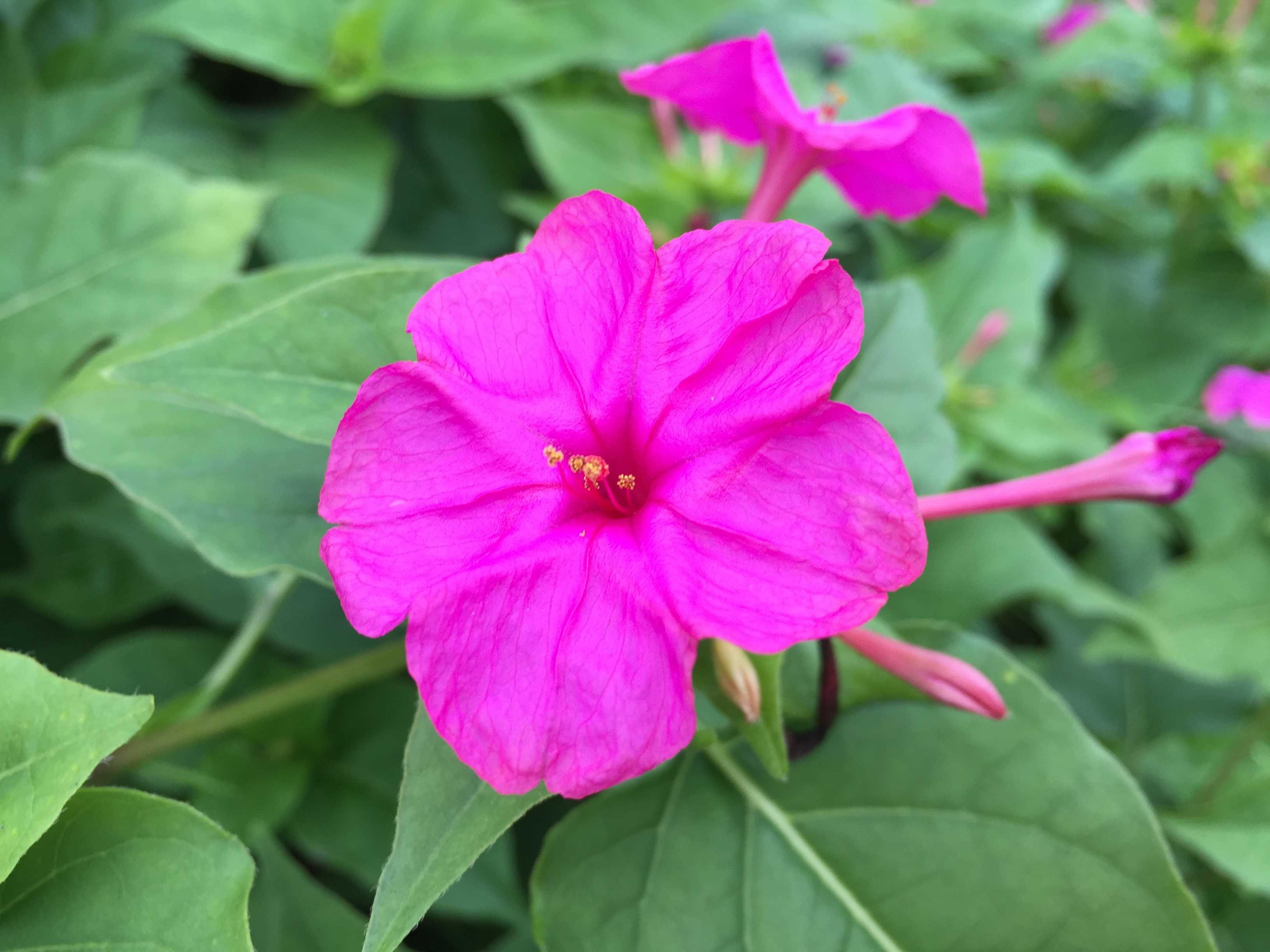 鮮やかなピンク!オシロイバナ(白粉花)