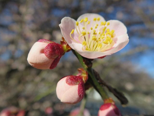 梅のおしべと花粉