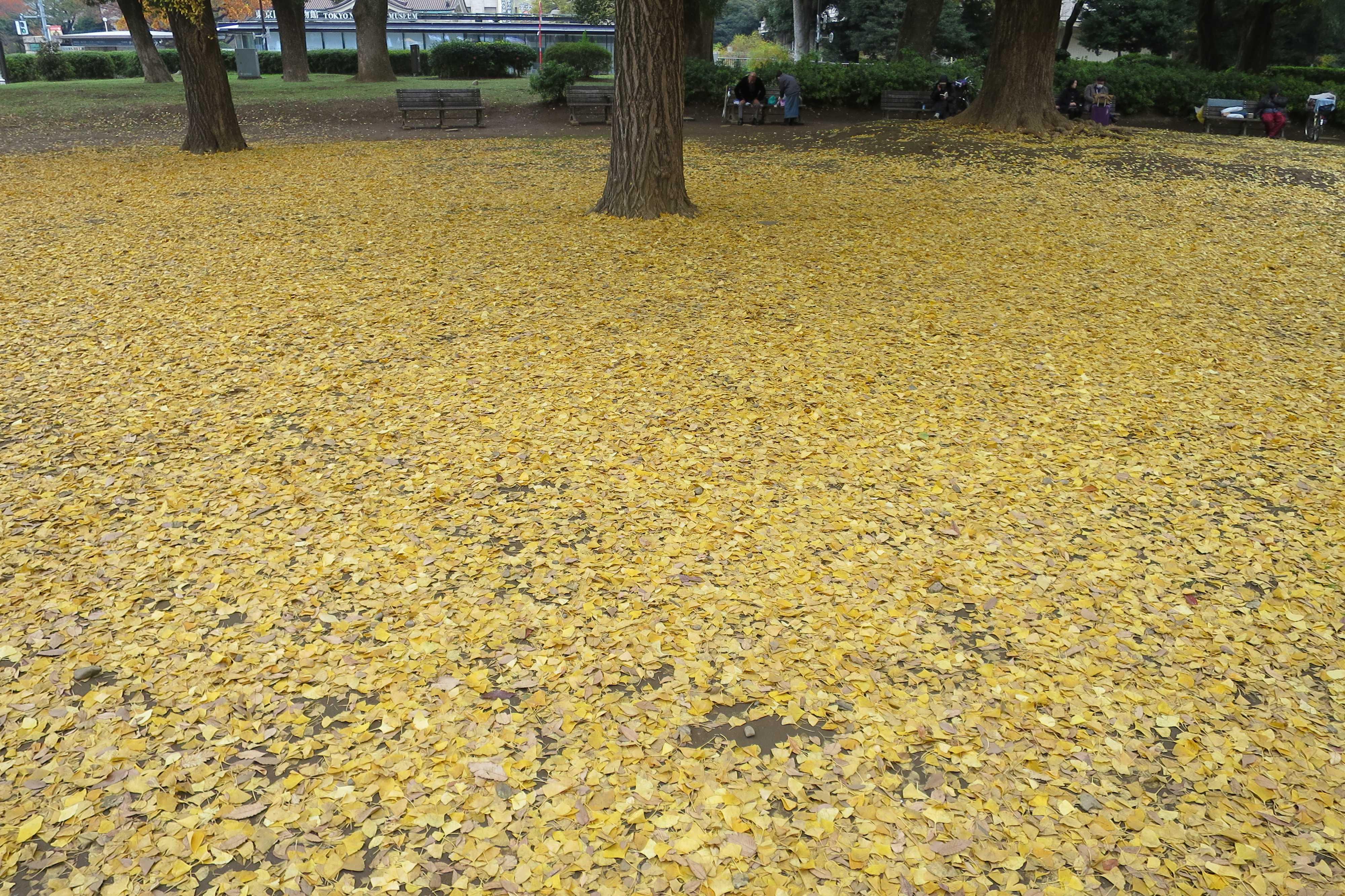上野公園のいちょう - 一面、黄色いイチョウの葉っぱ