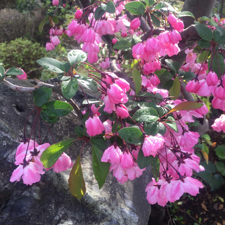 開花したハナカイドウ(花海棠)