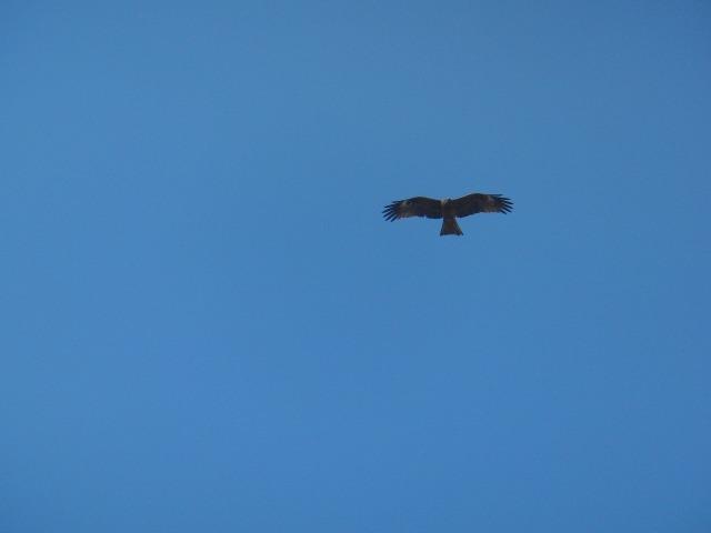 鞆の浦歴史民俗資料館上空を飛ぶ鷲?鷹?鳶?